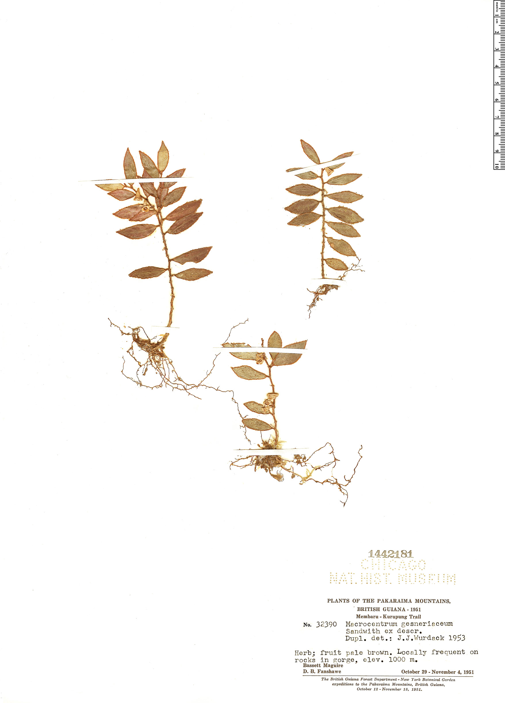 Specimen: Macrocentrum gesneriaceum