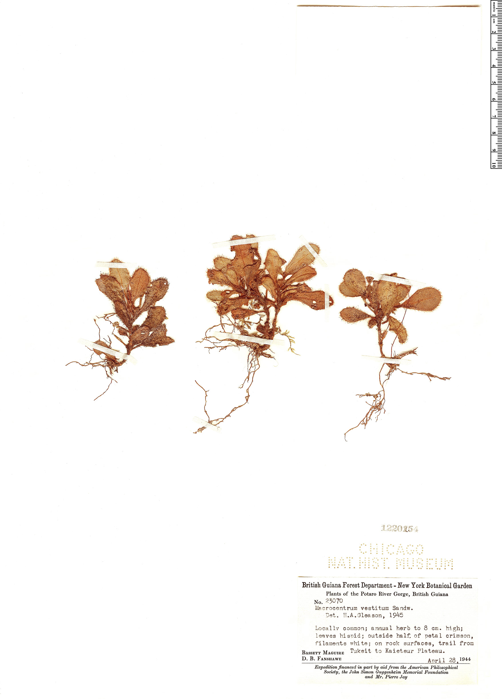 Specimen: Macrocentrum vestitum