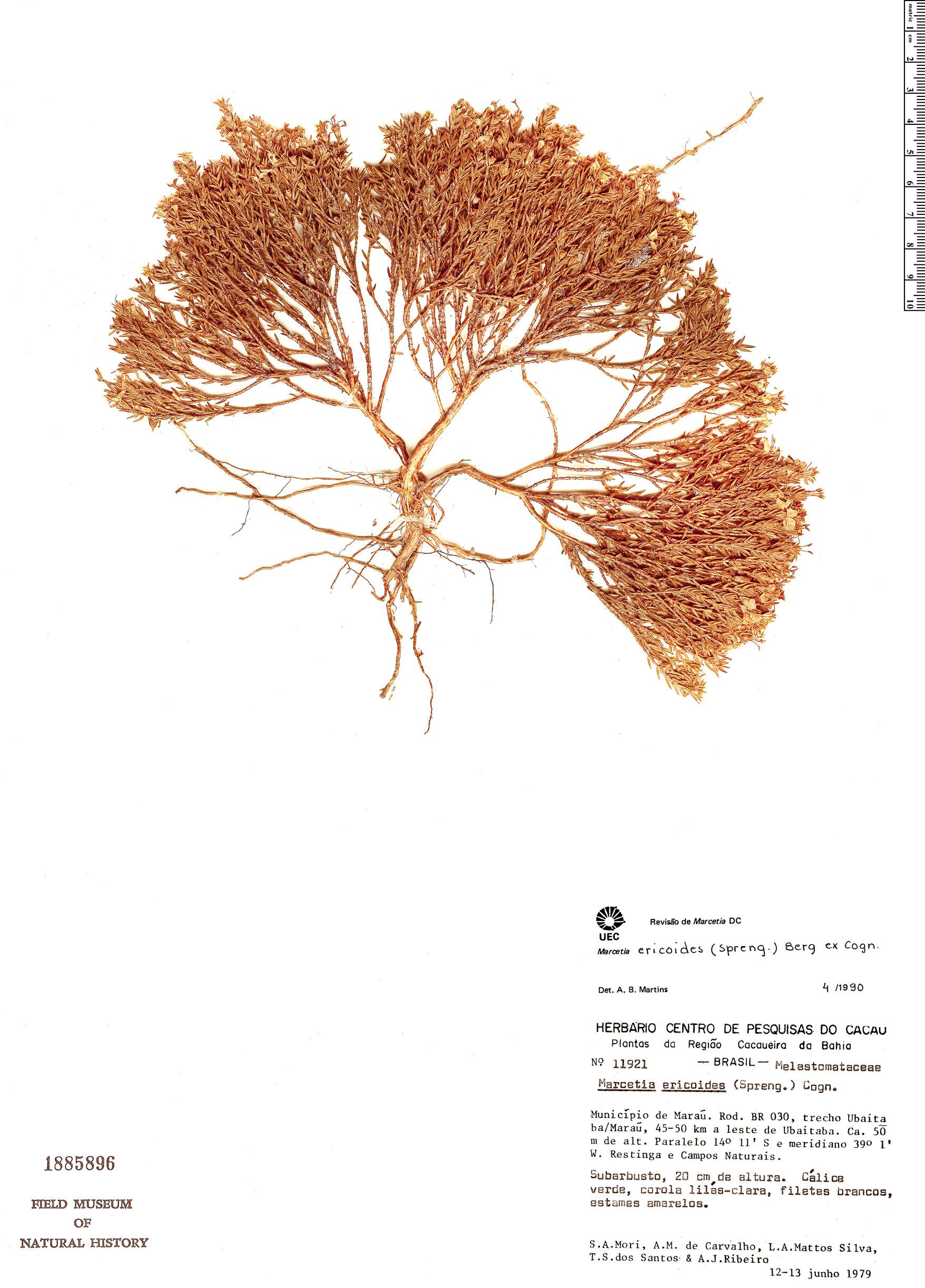 Specimen: Marcetia ericoides
