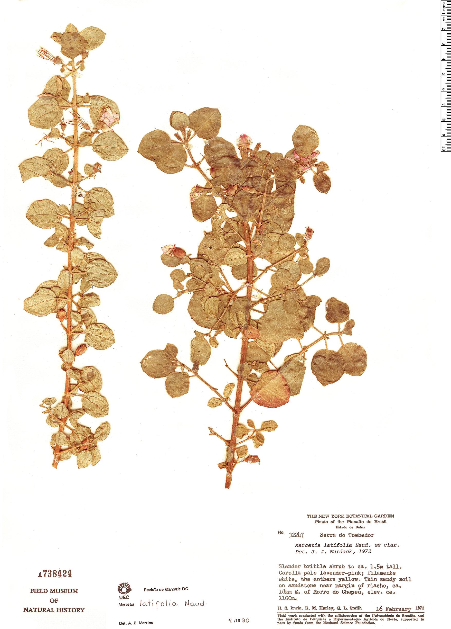 Specimen: Marcetia latifolia