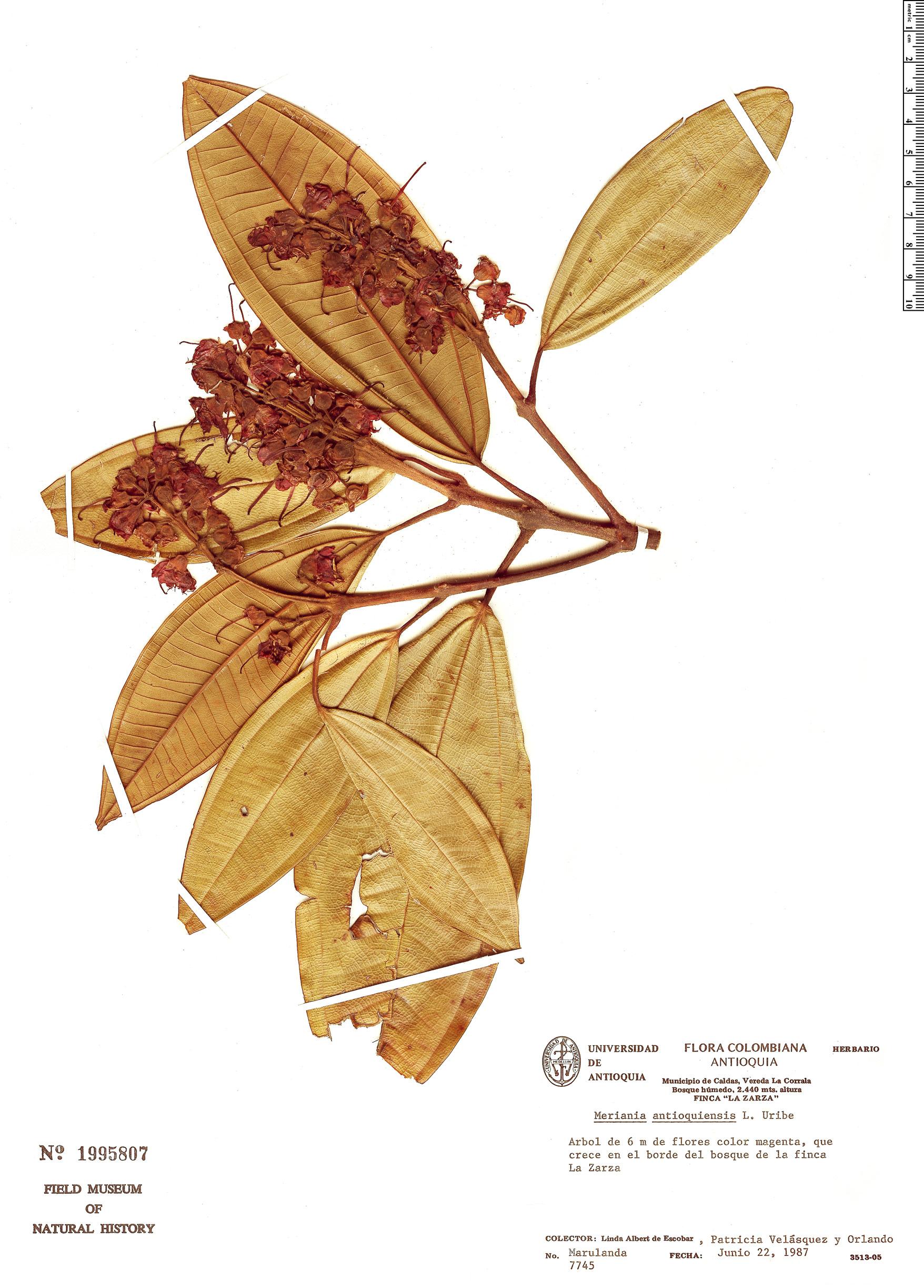 Specimen: Meriania antioquiensis