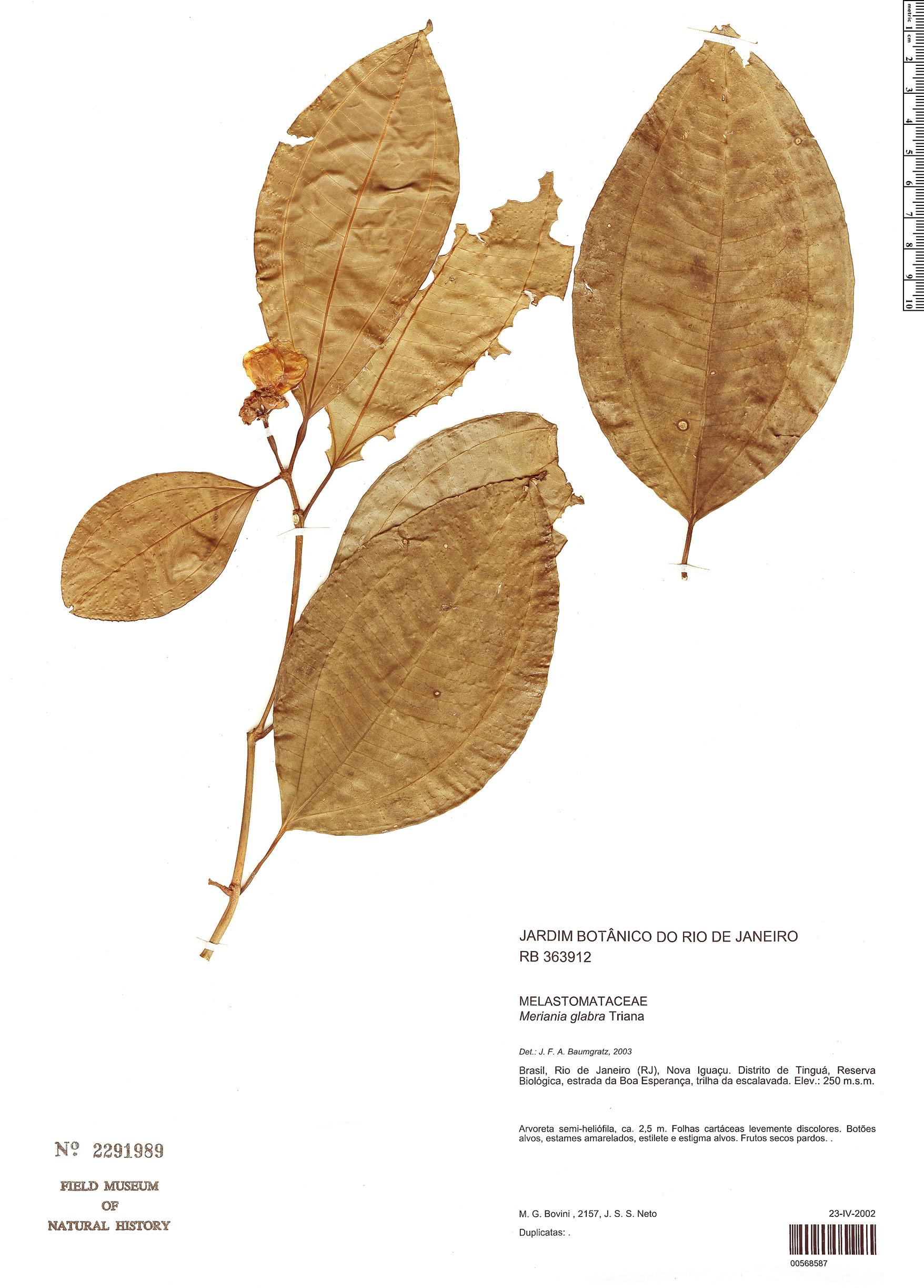 Specimen: Meriania glabra