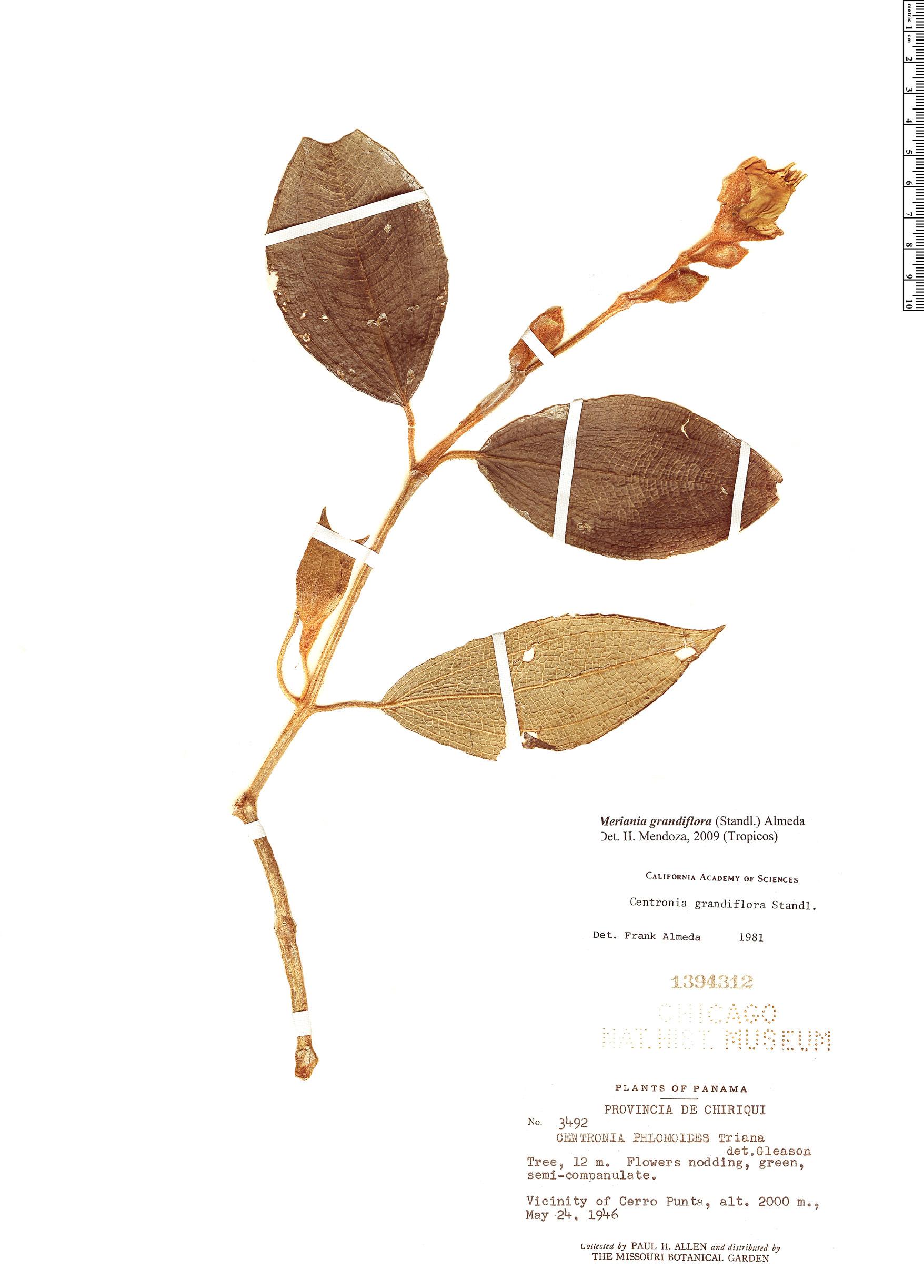 Specimen: Meriania grandiflora