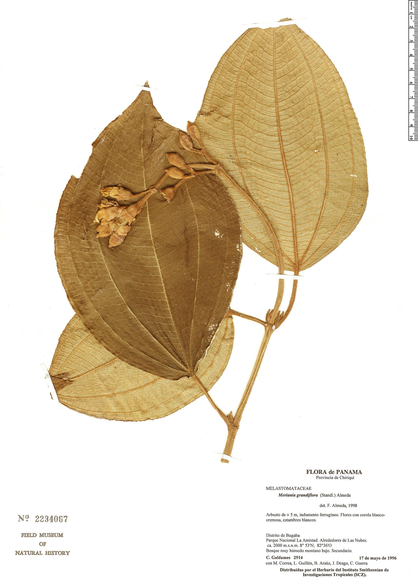 Espécime: Meriania grandiflora