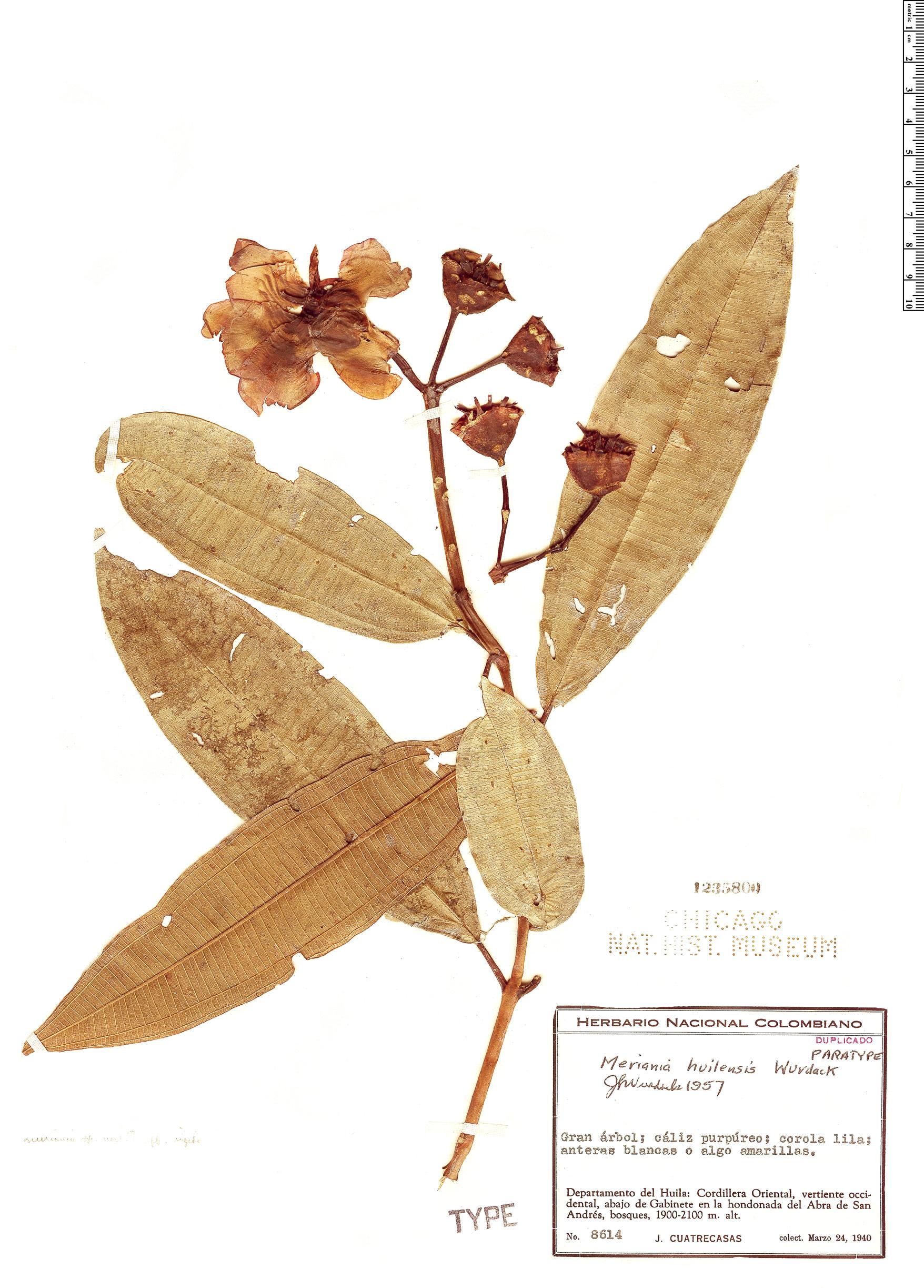 Specimen: Meriania huilensis