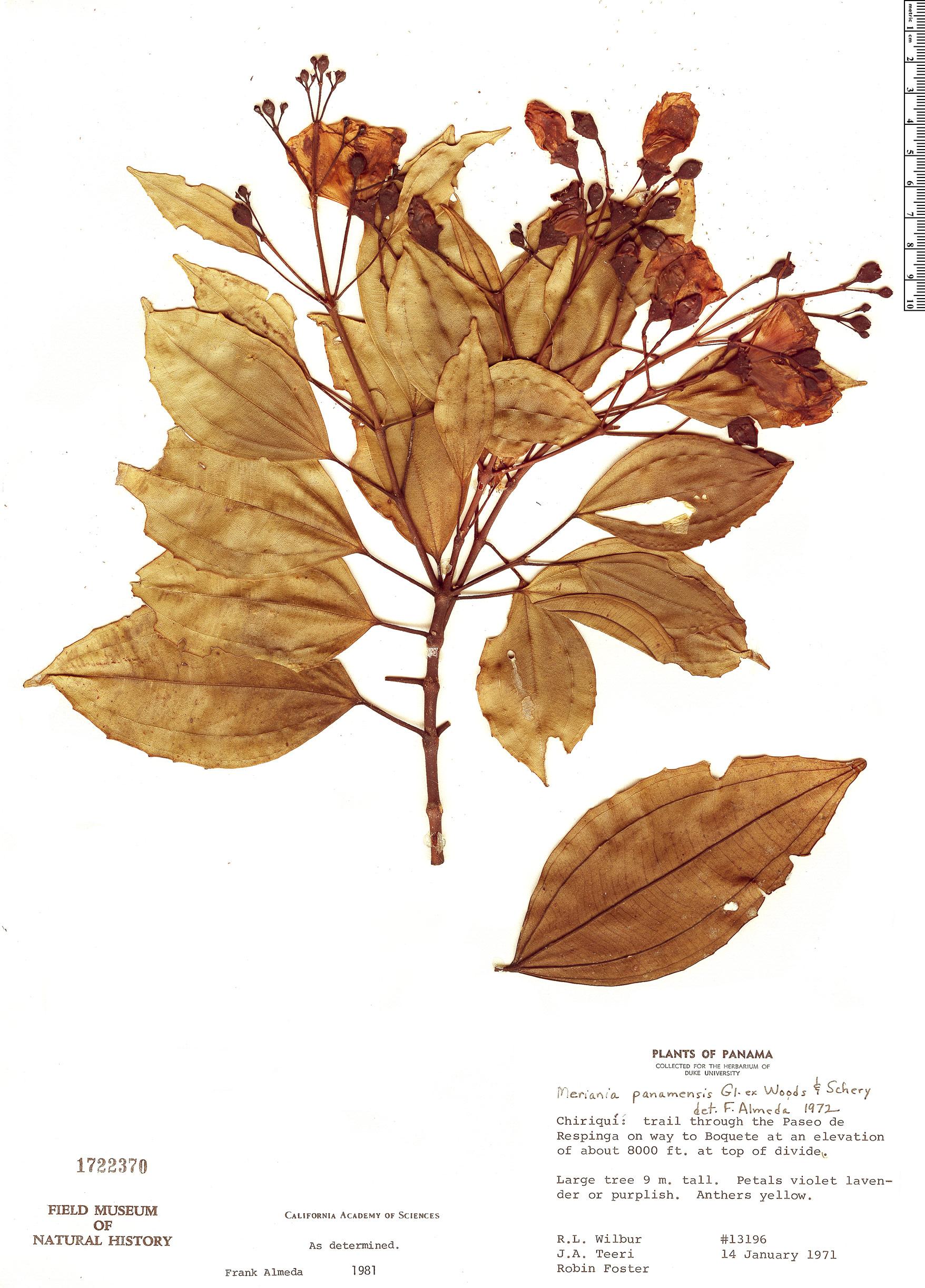 Specimen: Meriania panamensis