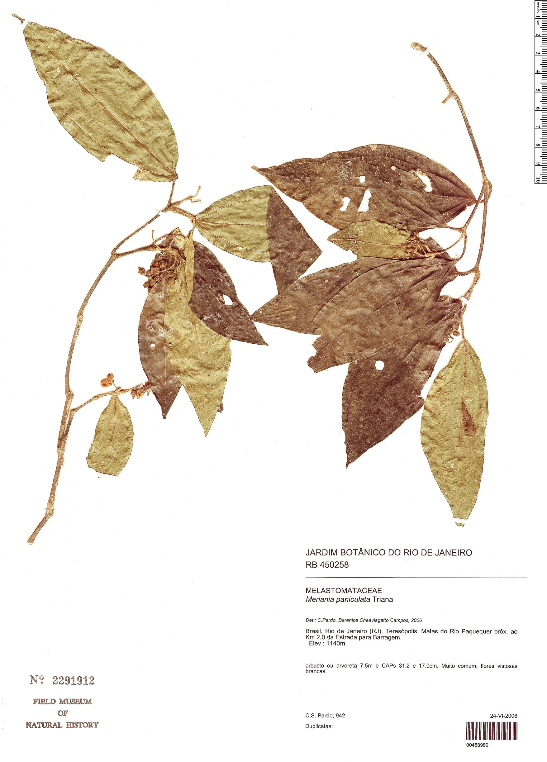 Specimen: Meriania paniculata