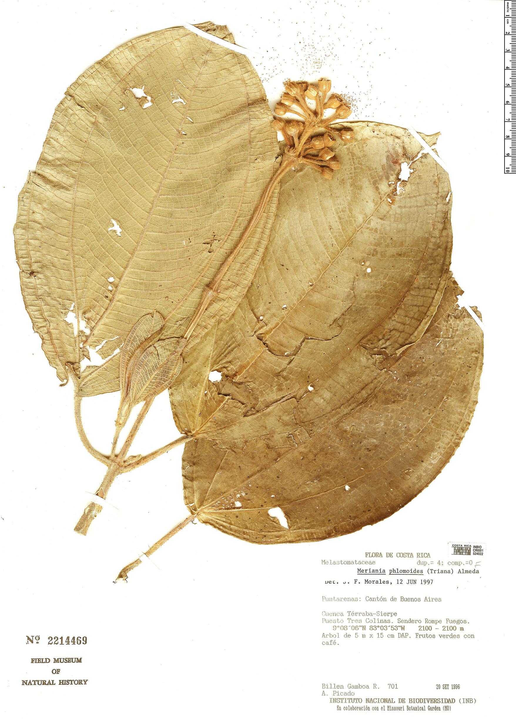 Specimen: Meriania phlomoides