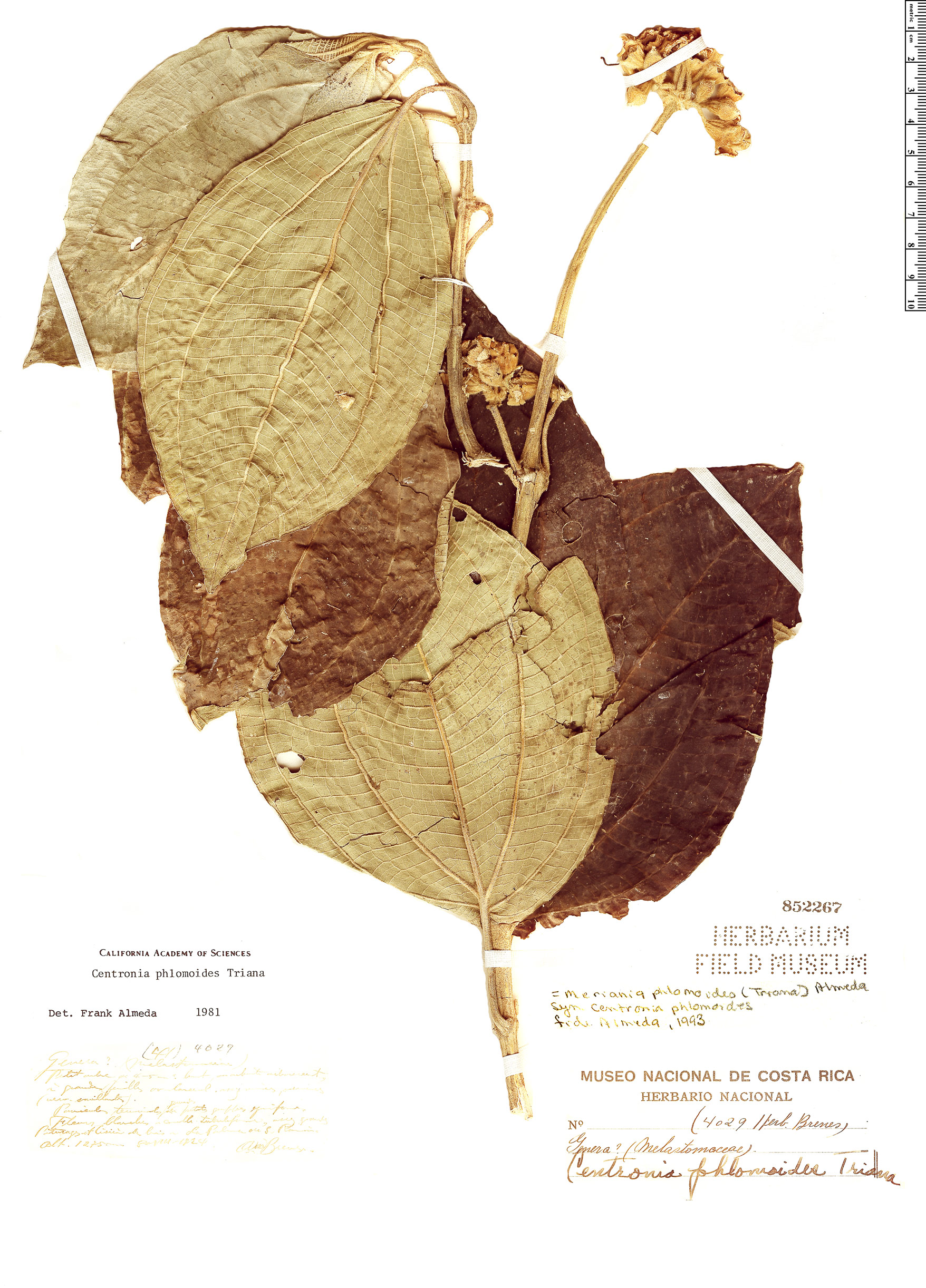 Espécimen: Meriania phlomoides