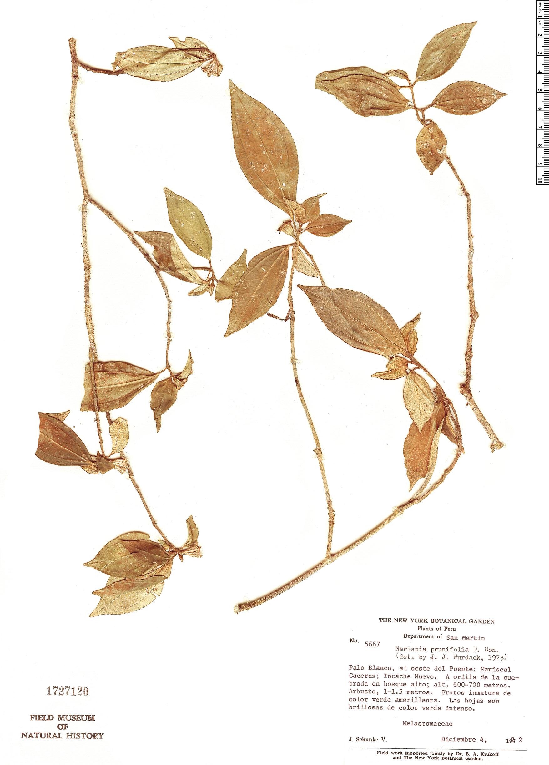 Specimen: Meriania prunifolia
