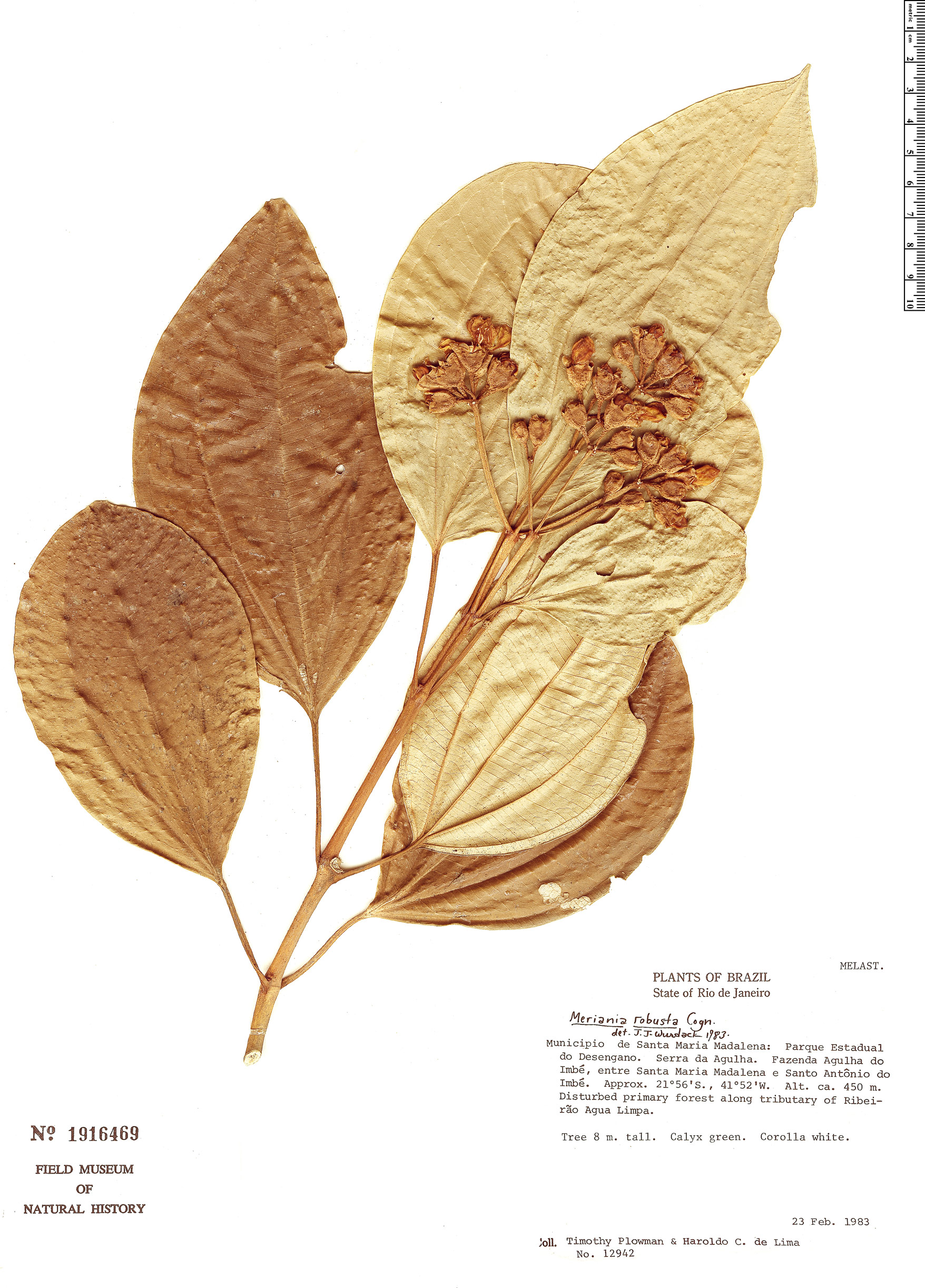 Specimen: Meriania robusta