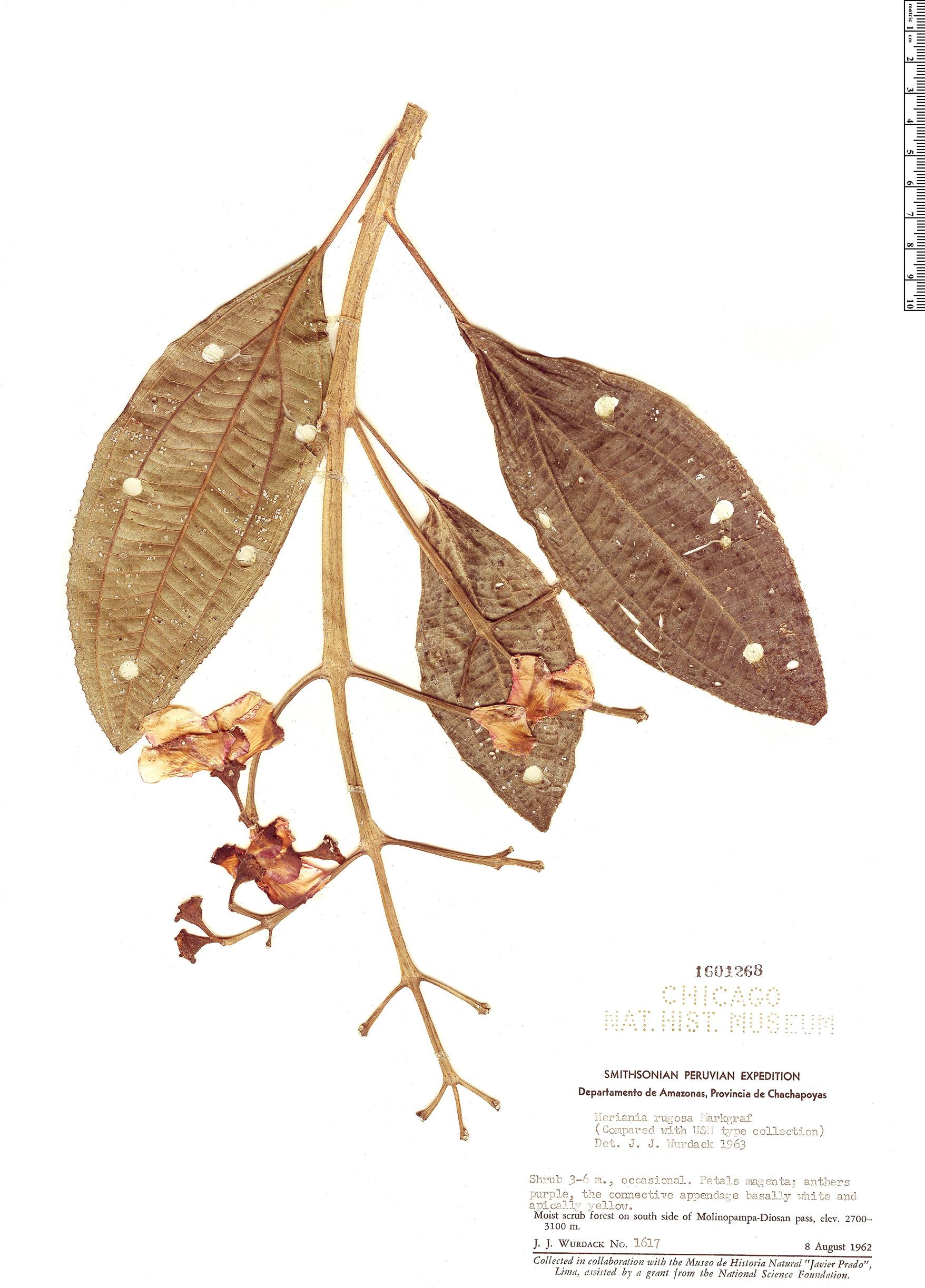 Specimen: Meriania rugosa