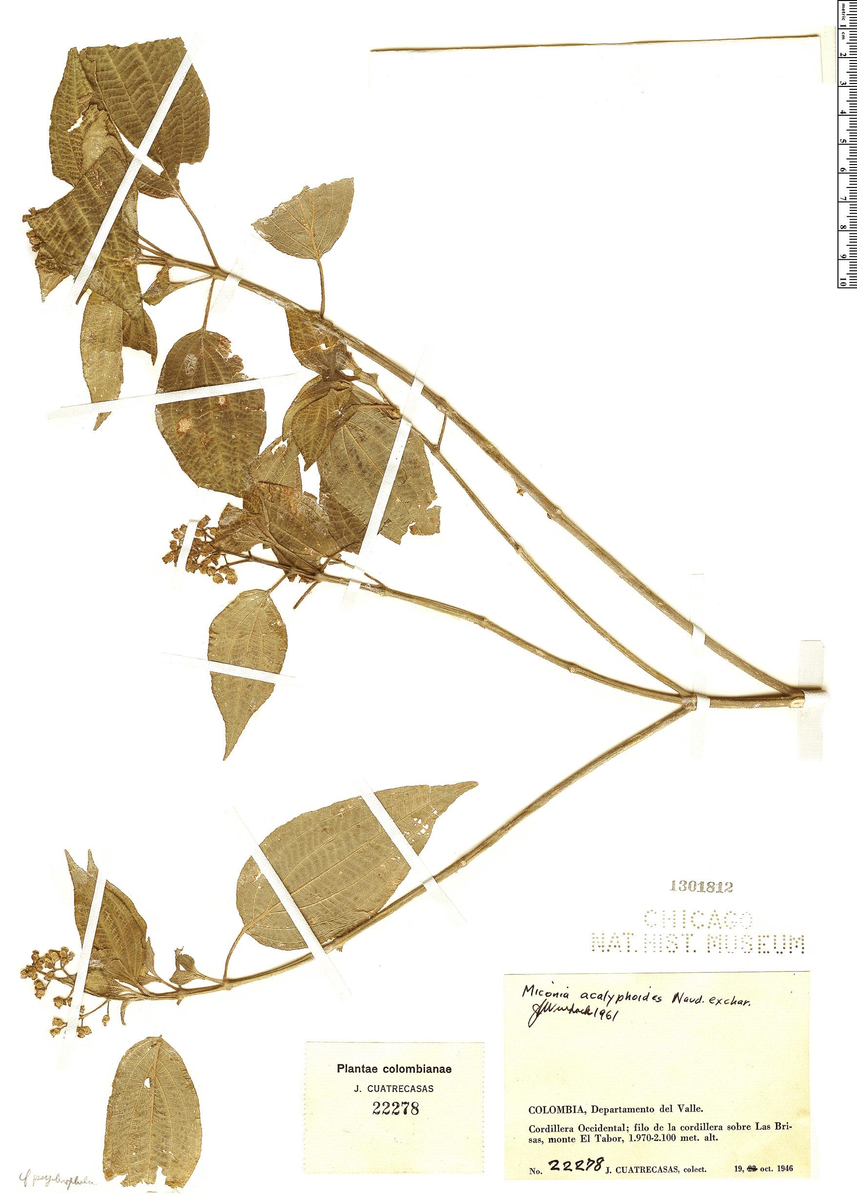 Espécimen: Miconia acalephoides