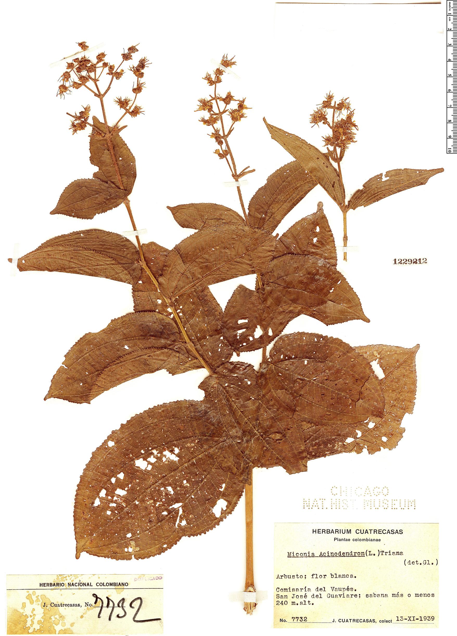 Specimen: Miconia acinodendron