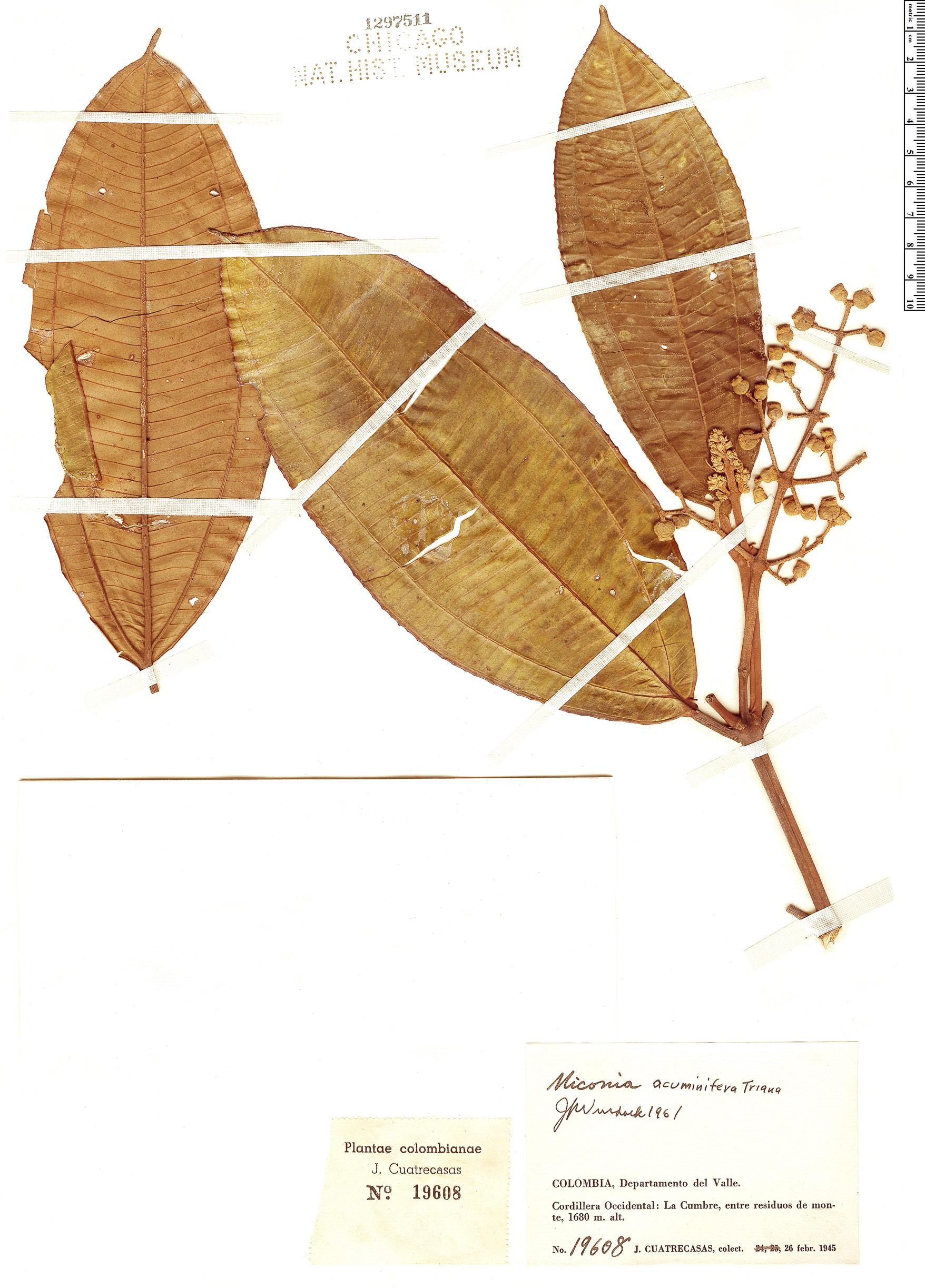 Specimen: Miconia acuminifera