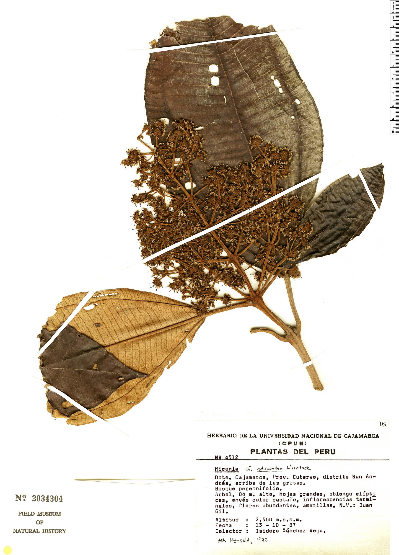Specimen: Miconia adinantha