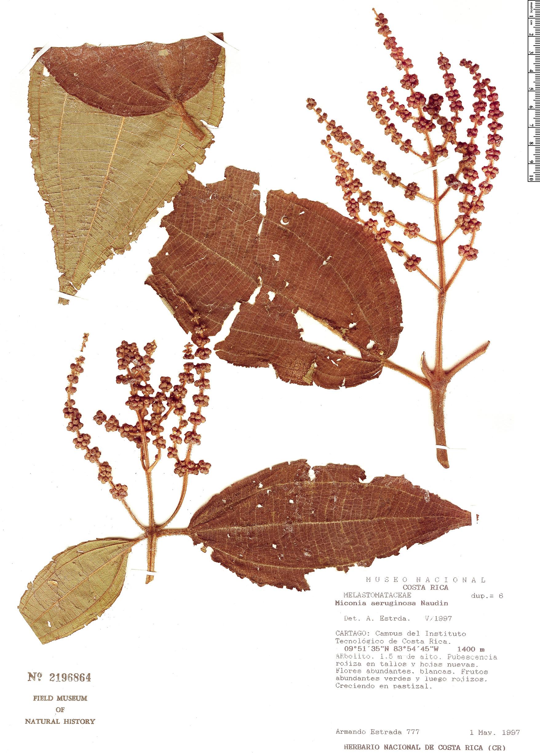Specimen: Miconia aeruginosa