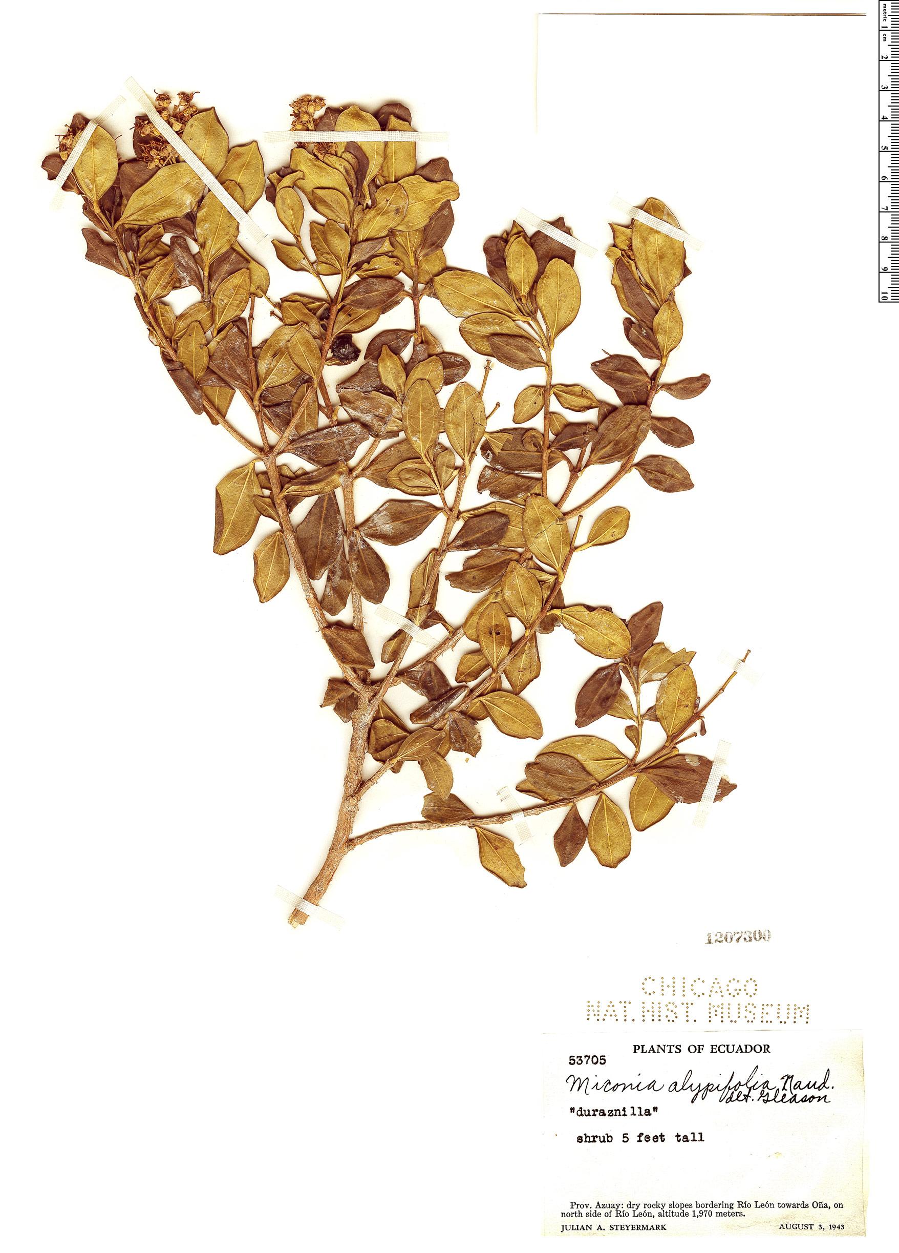 Specimen: Miconia alypifolia