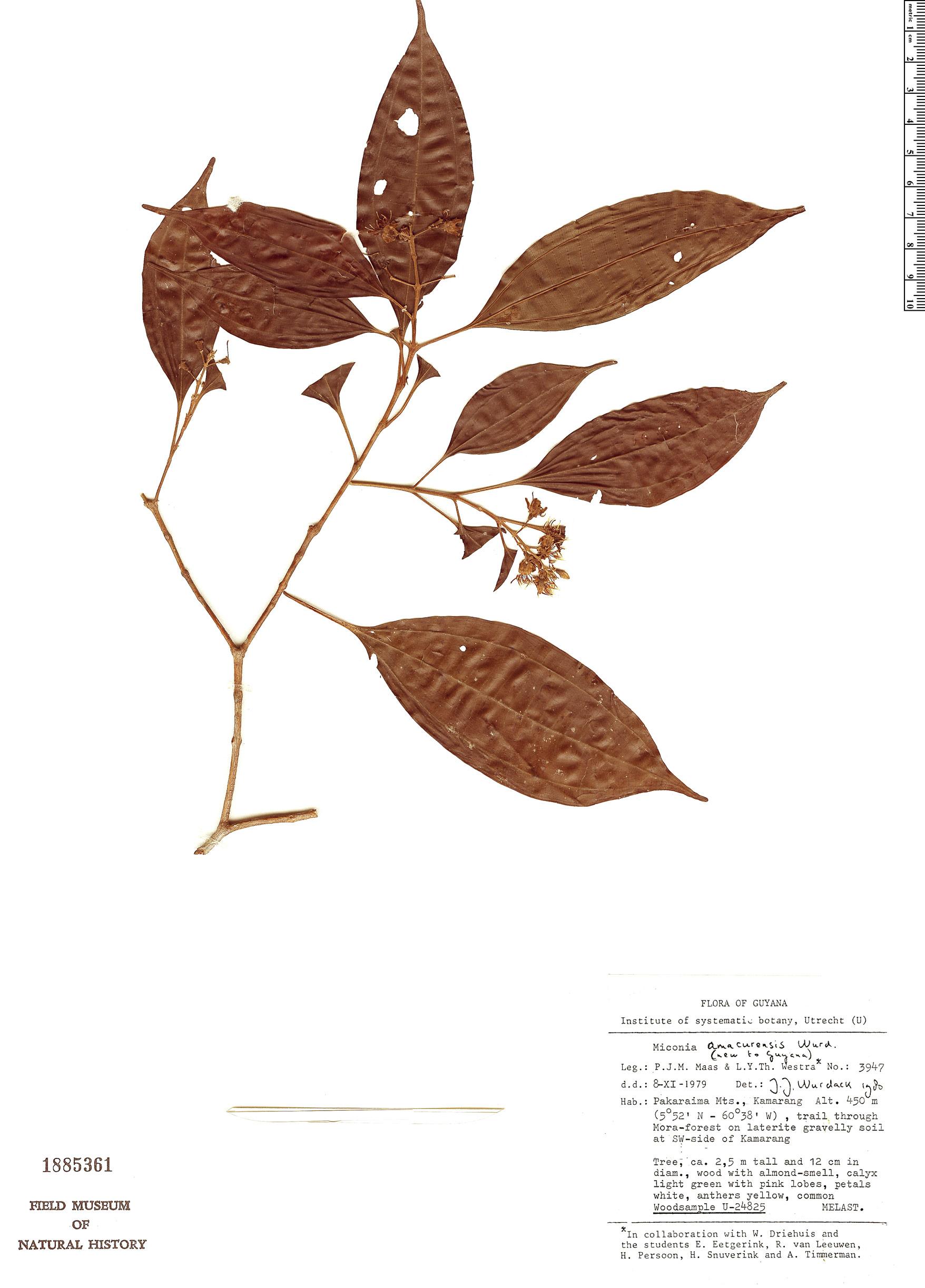 Specimen: Miconia amacurensis