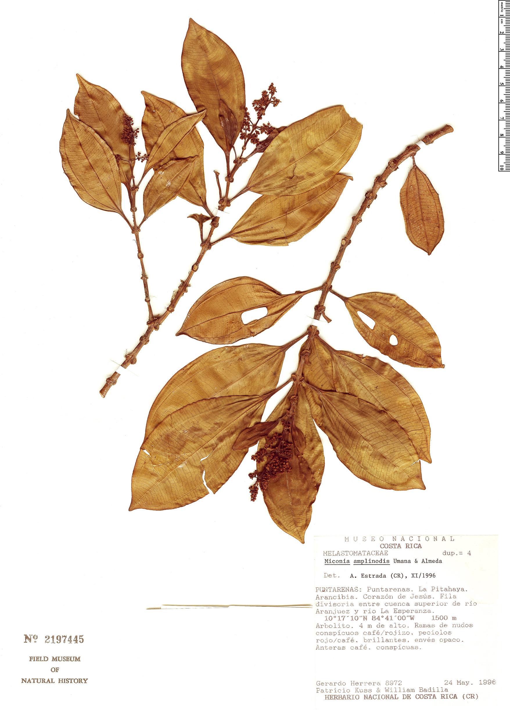 Specimen: Miconia amplinodis