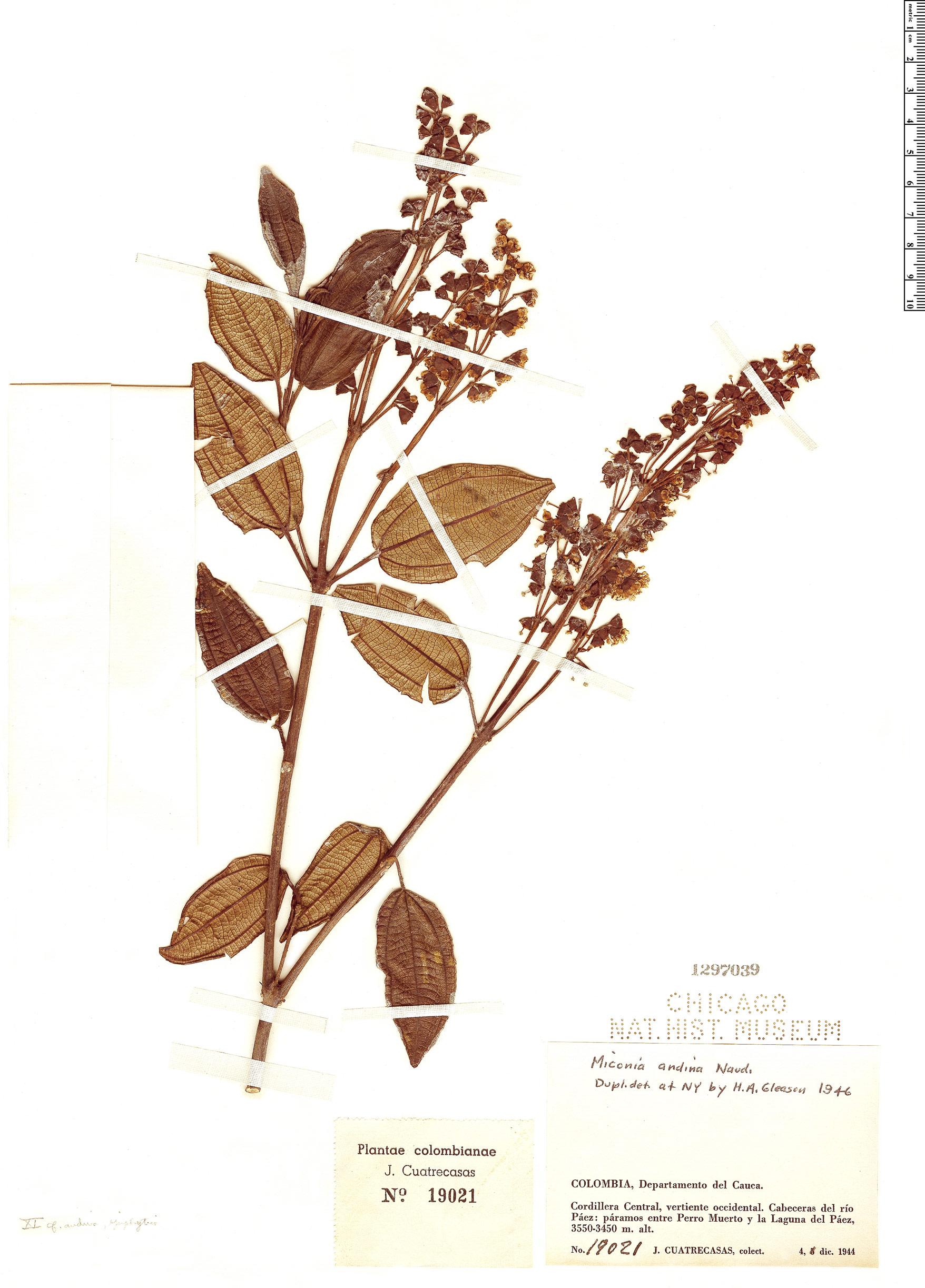 Specimen: Miconia latifolia