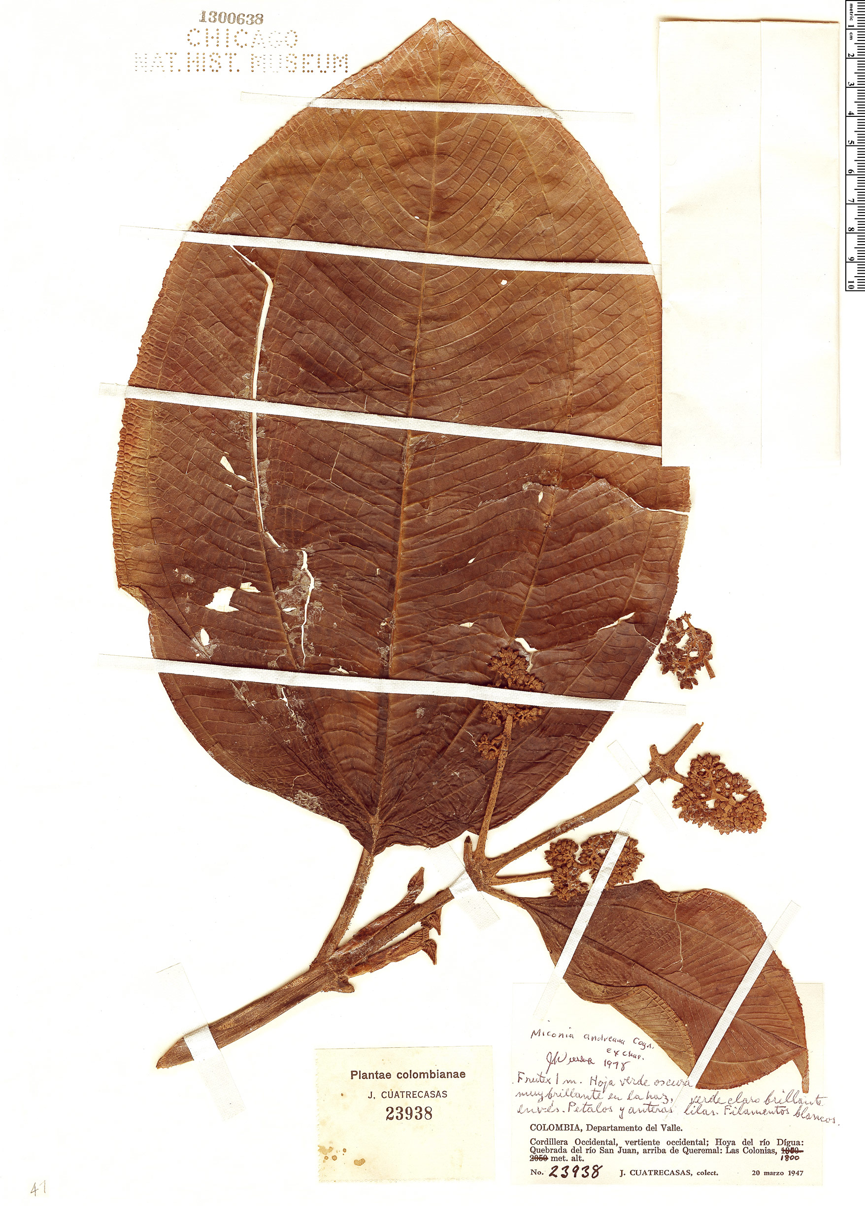 Specimen: Miconia andreana
