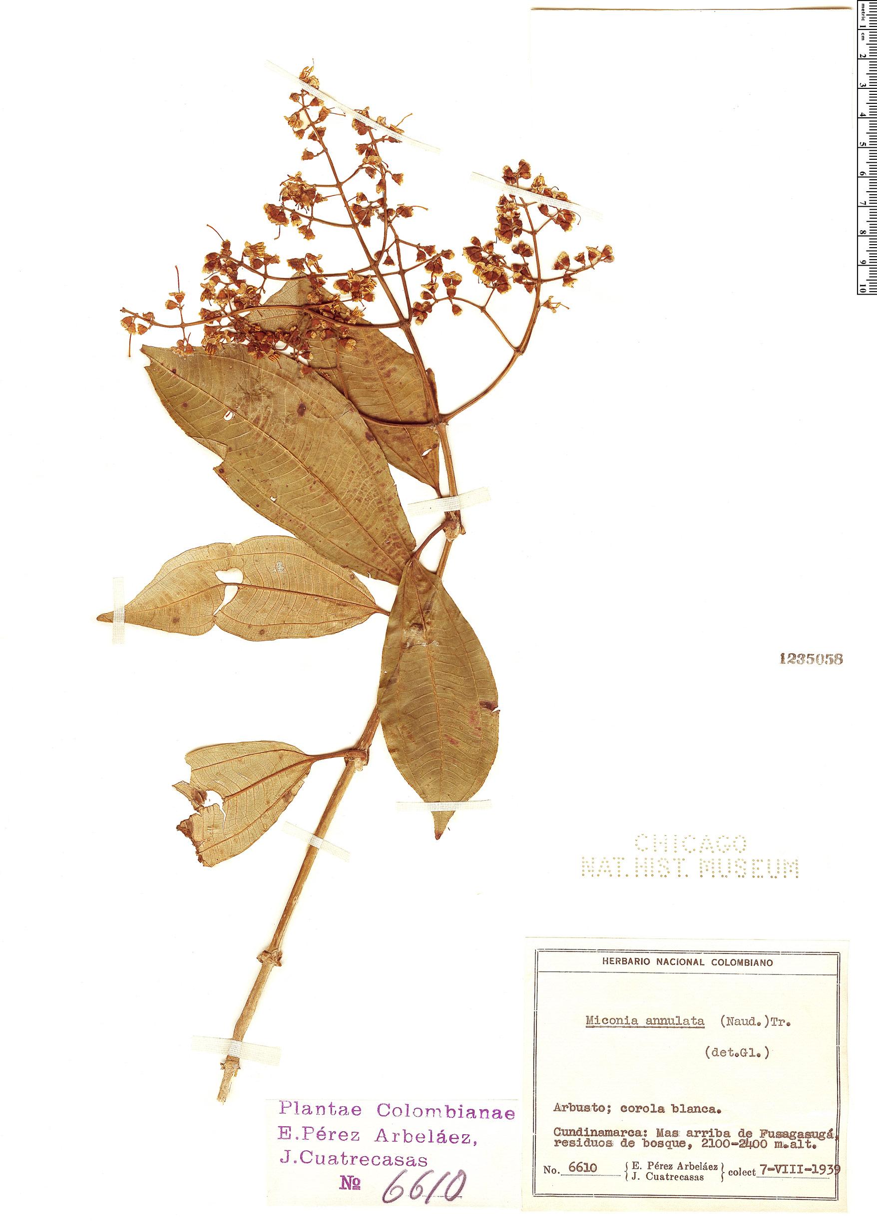 Specimen: Miconia annulata