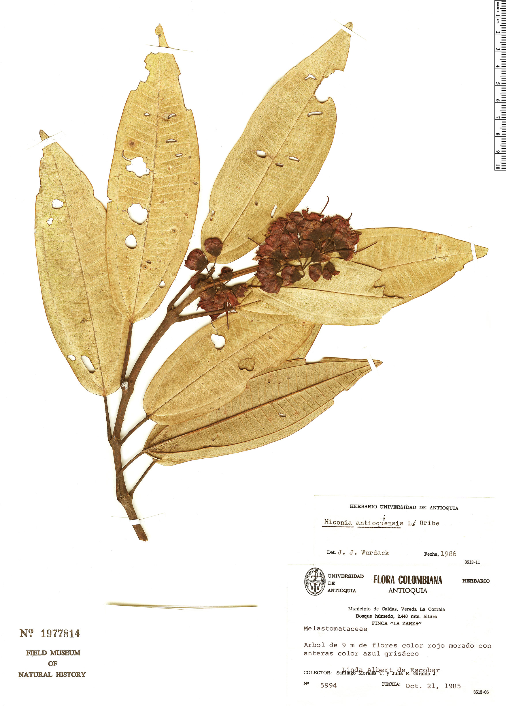 Specimen: Miconia antioquiensis