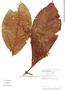 Miconia appendiculata image