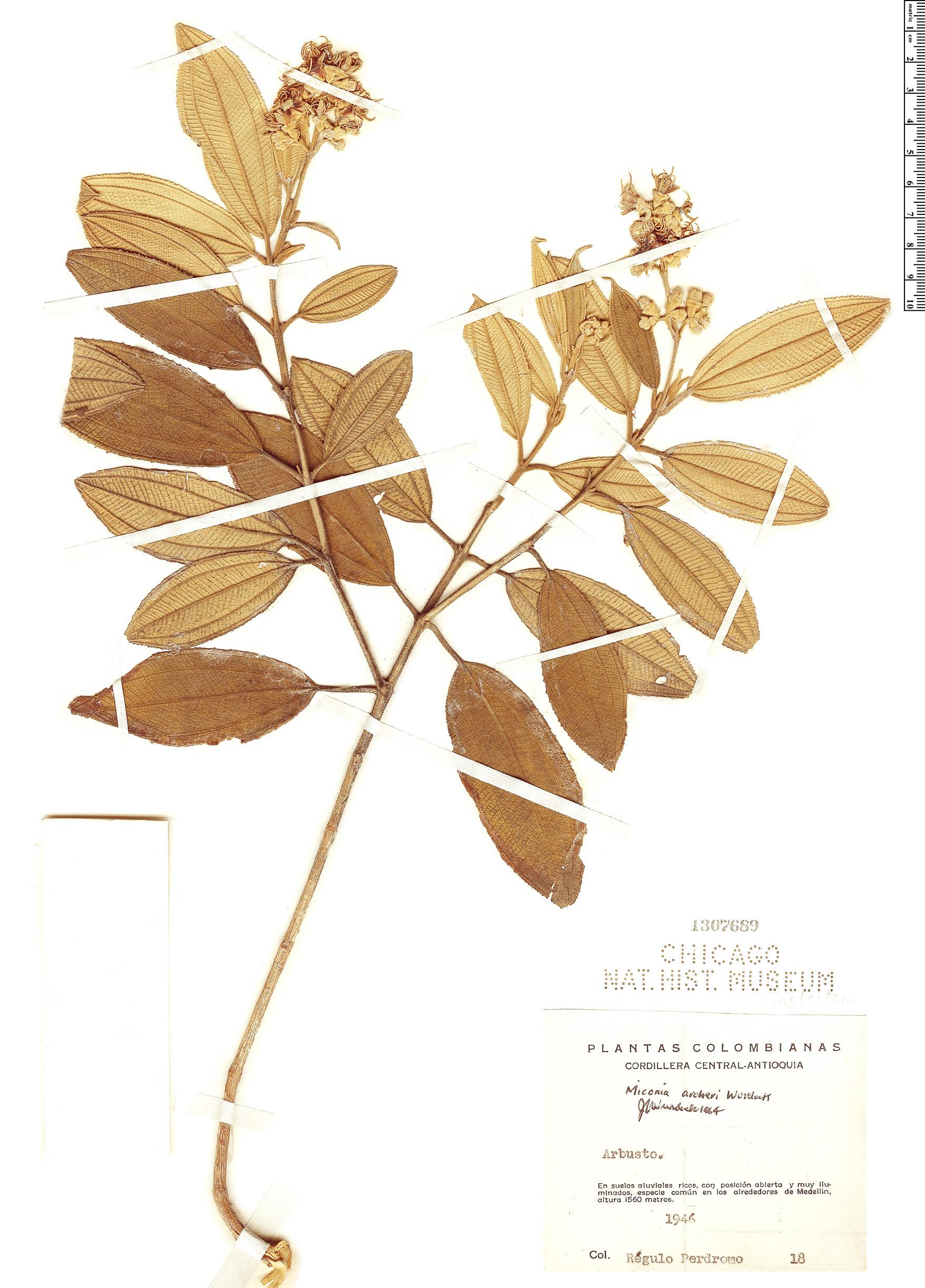 Specimen: Miconia archeri