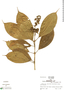 Miconia aureoides image