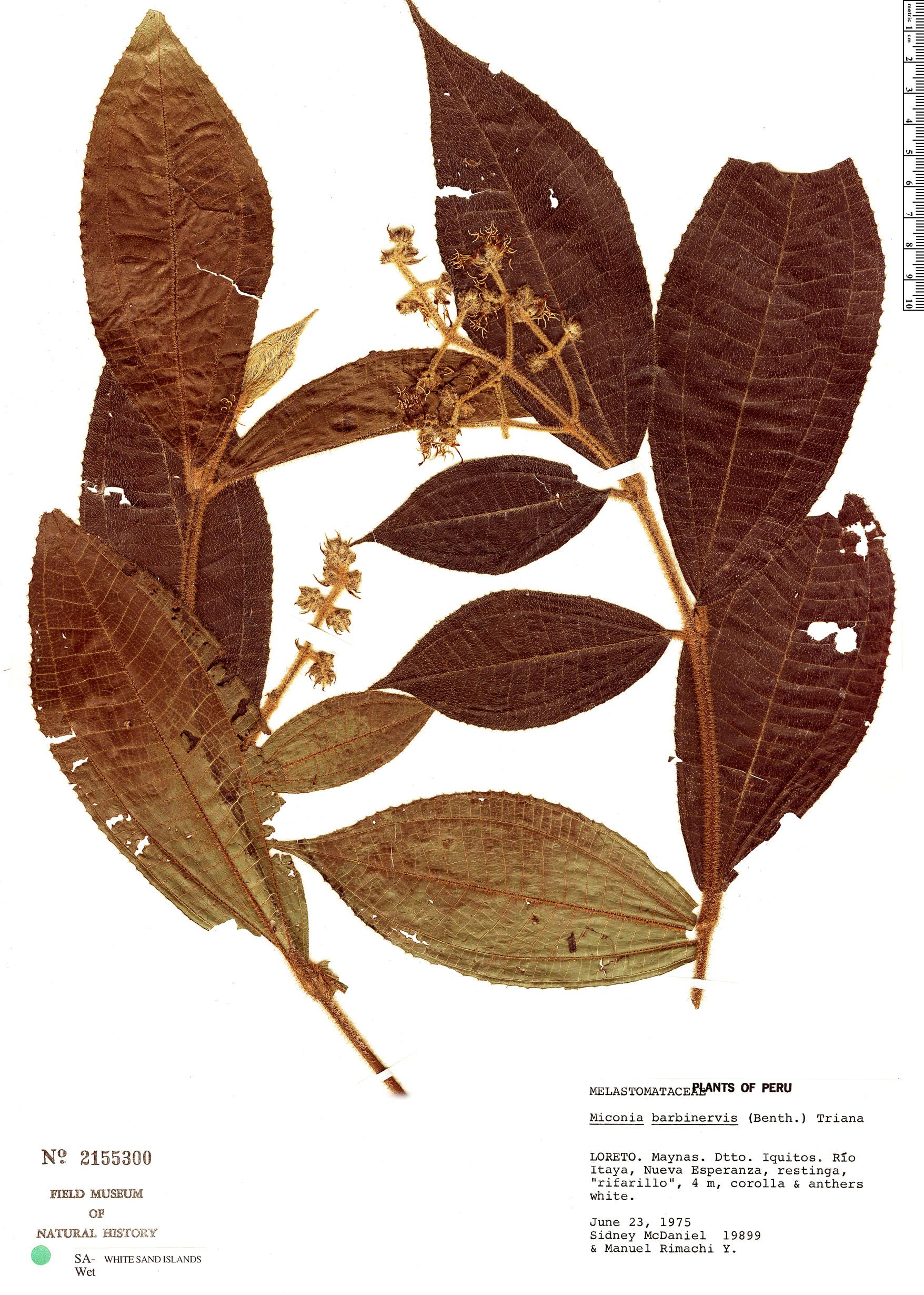 Specimen: Miconia barbinervis