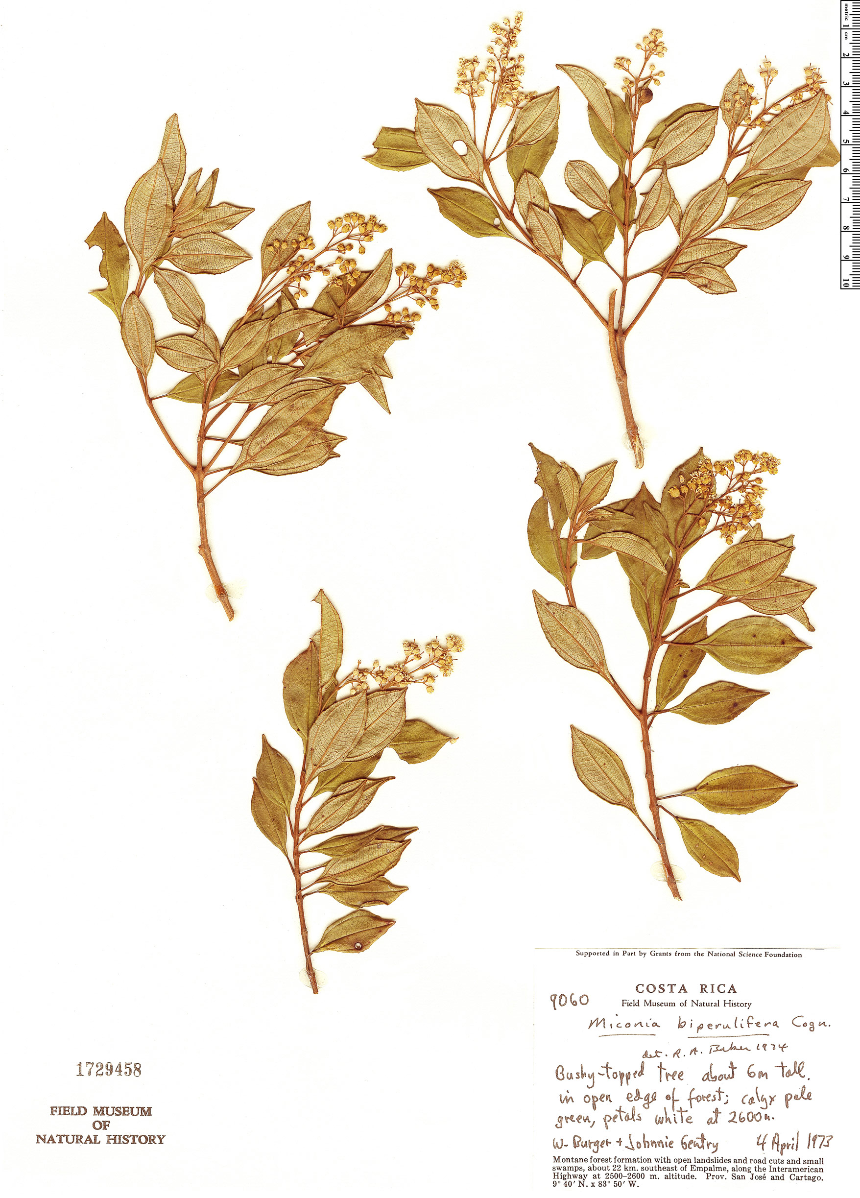 Specimen: Miconia biperulifera