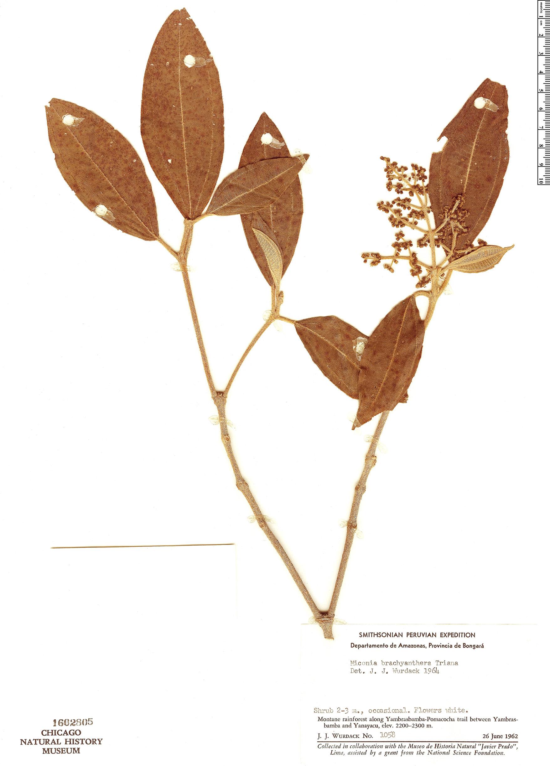 Specimen: Miconia brachyanthera