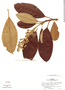 Miconia brachycalyx image