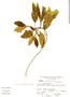Miconia bracteolata image