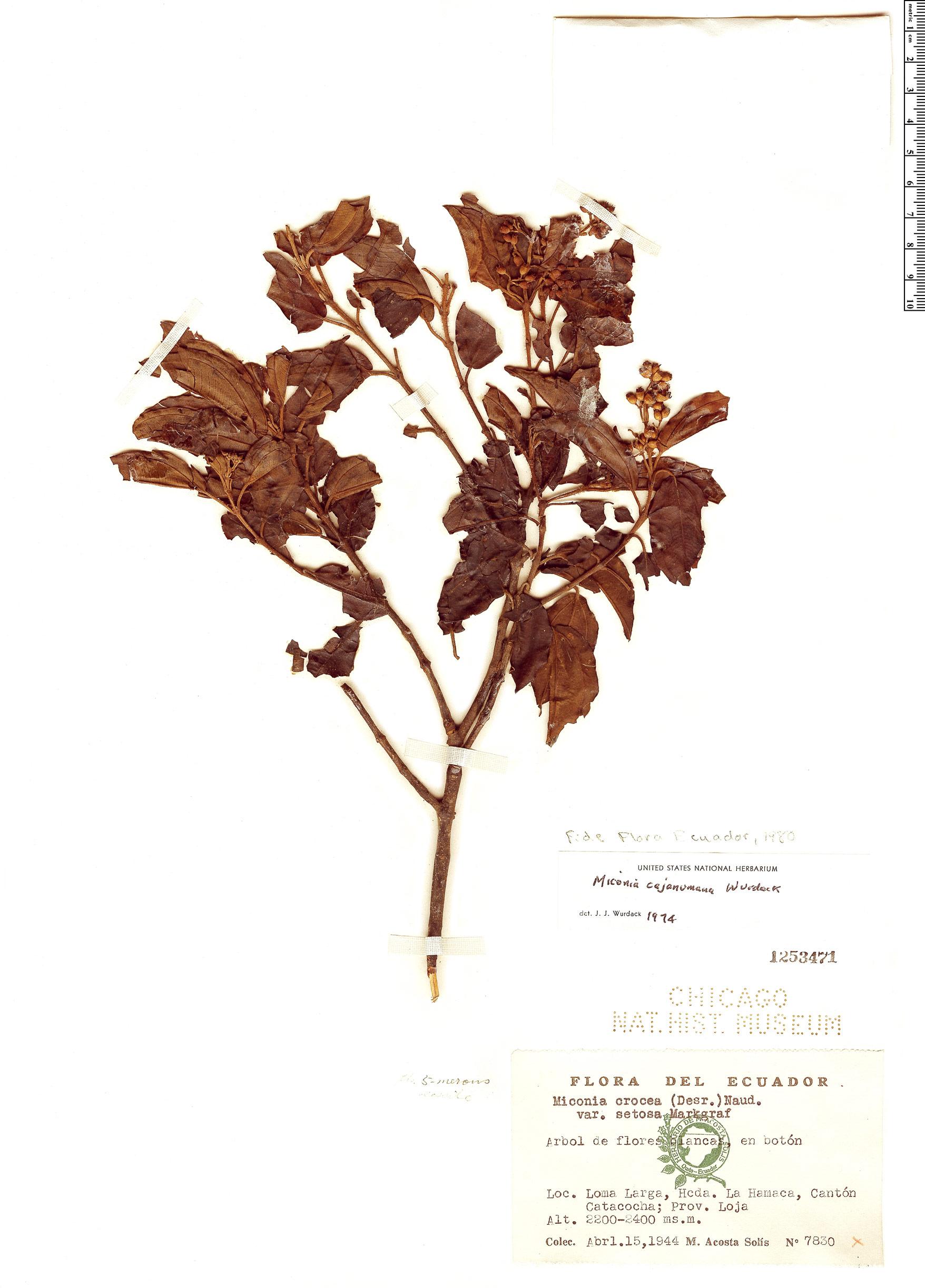 Specimen: Miconia cajanumana