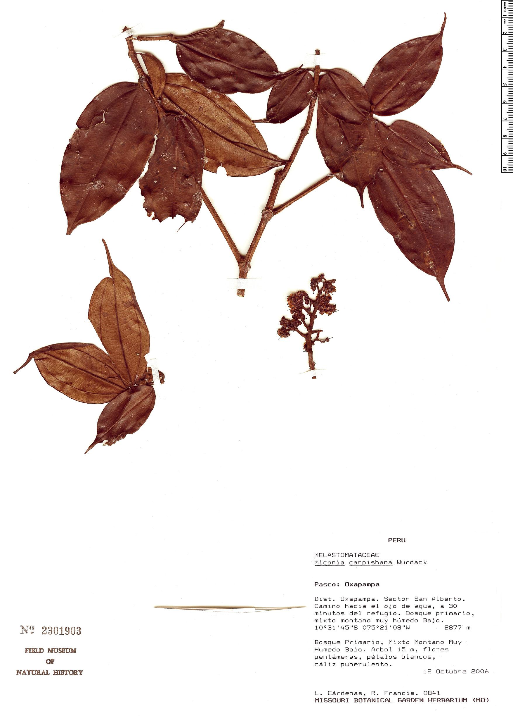 Specimen: Miconia carpishana