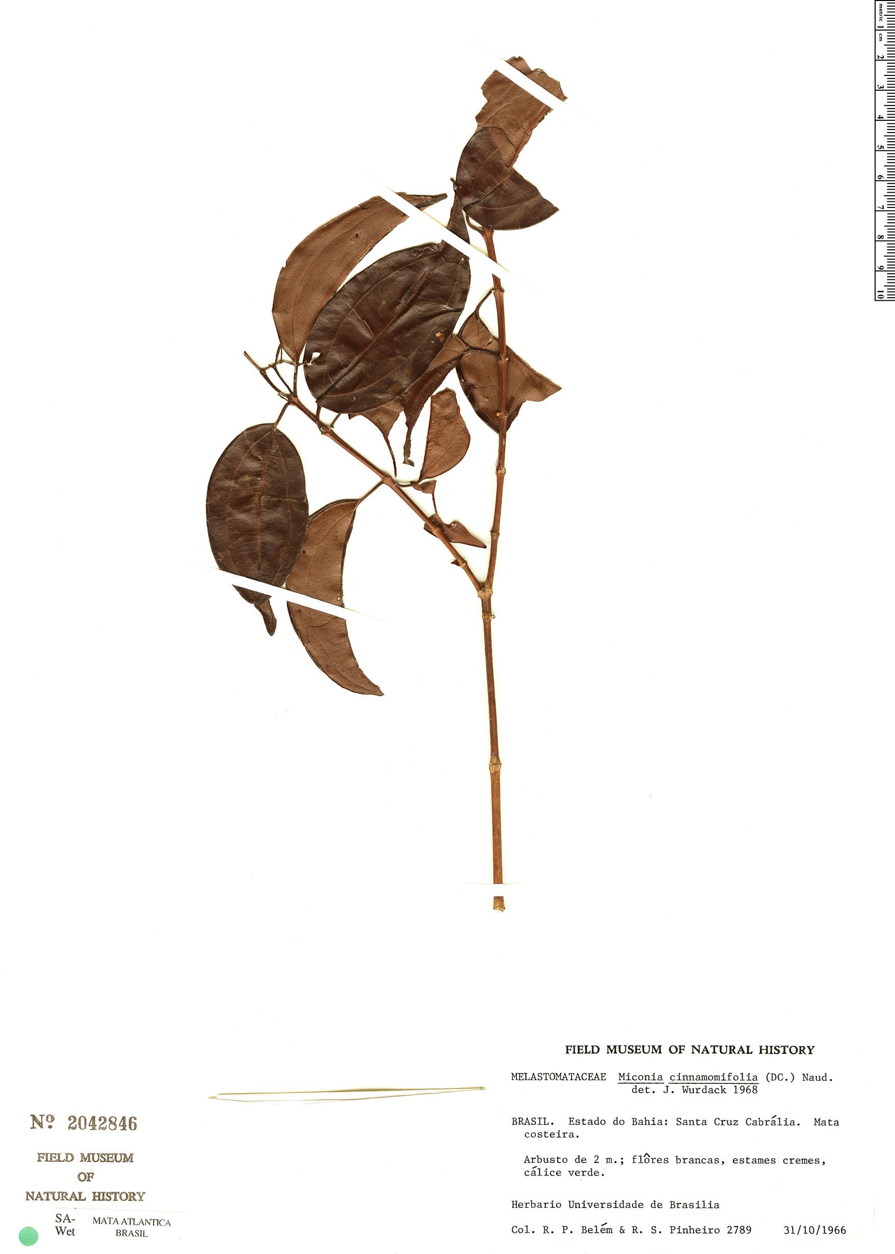 Specimen: Miconia cinnamomifolia
