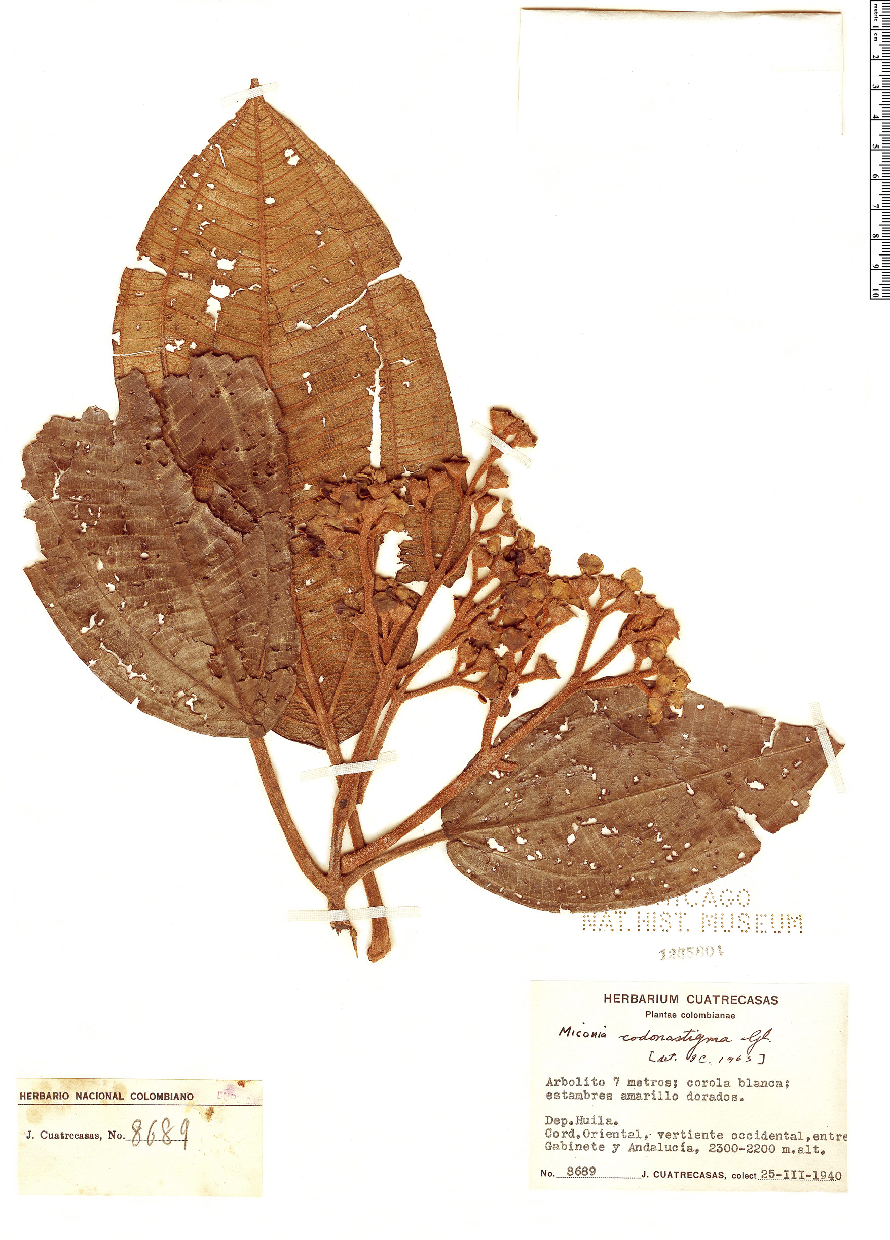 Specimen: Miconia codonostigma