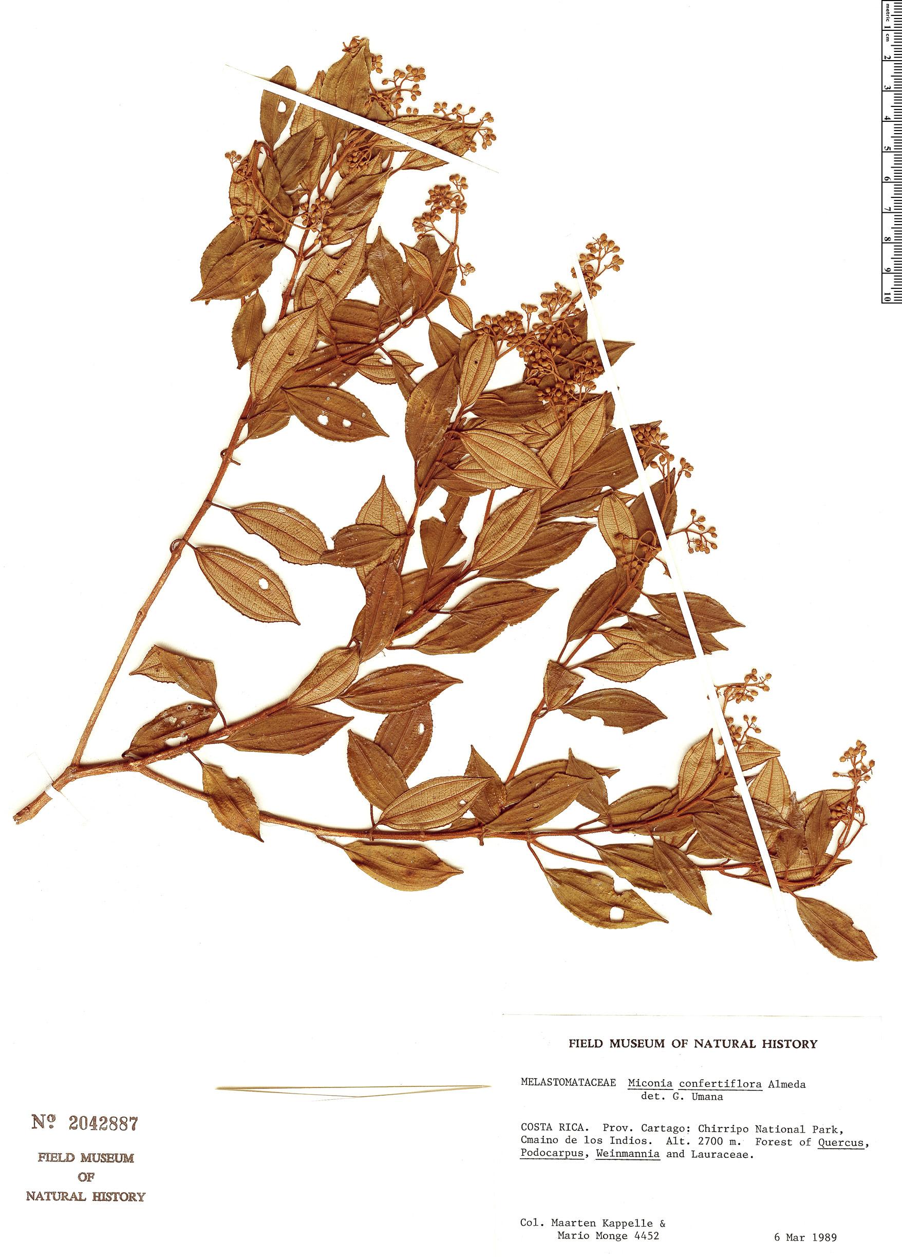 Specimen: Miconia confertiflora