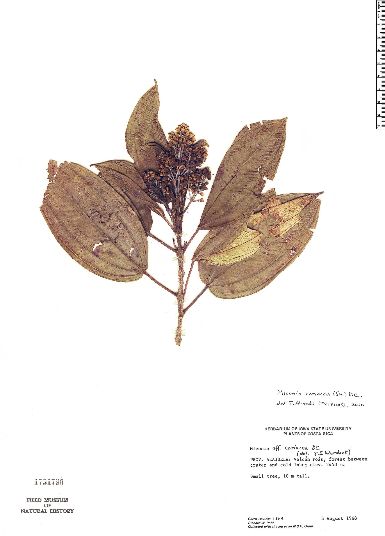 Specimen: Miconia coriacea