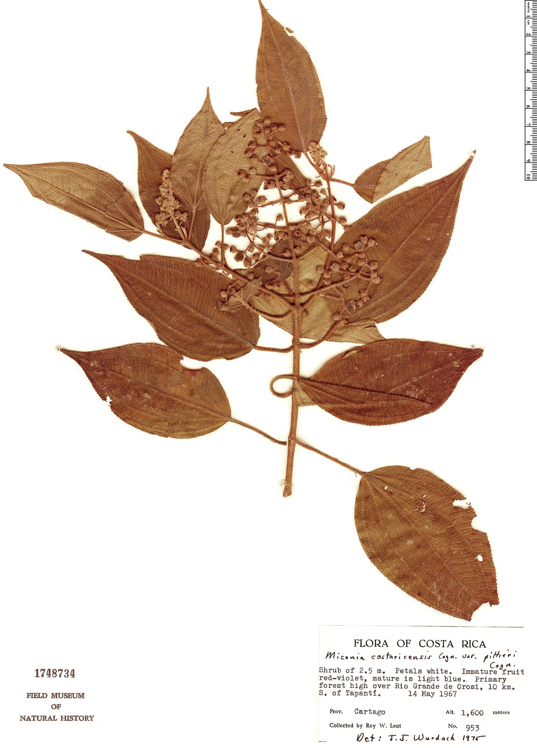 Specimen: Miconia costaricensis