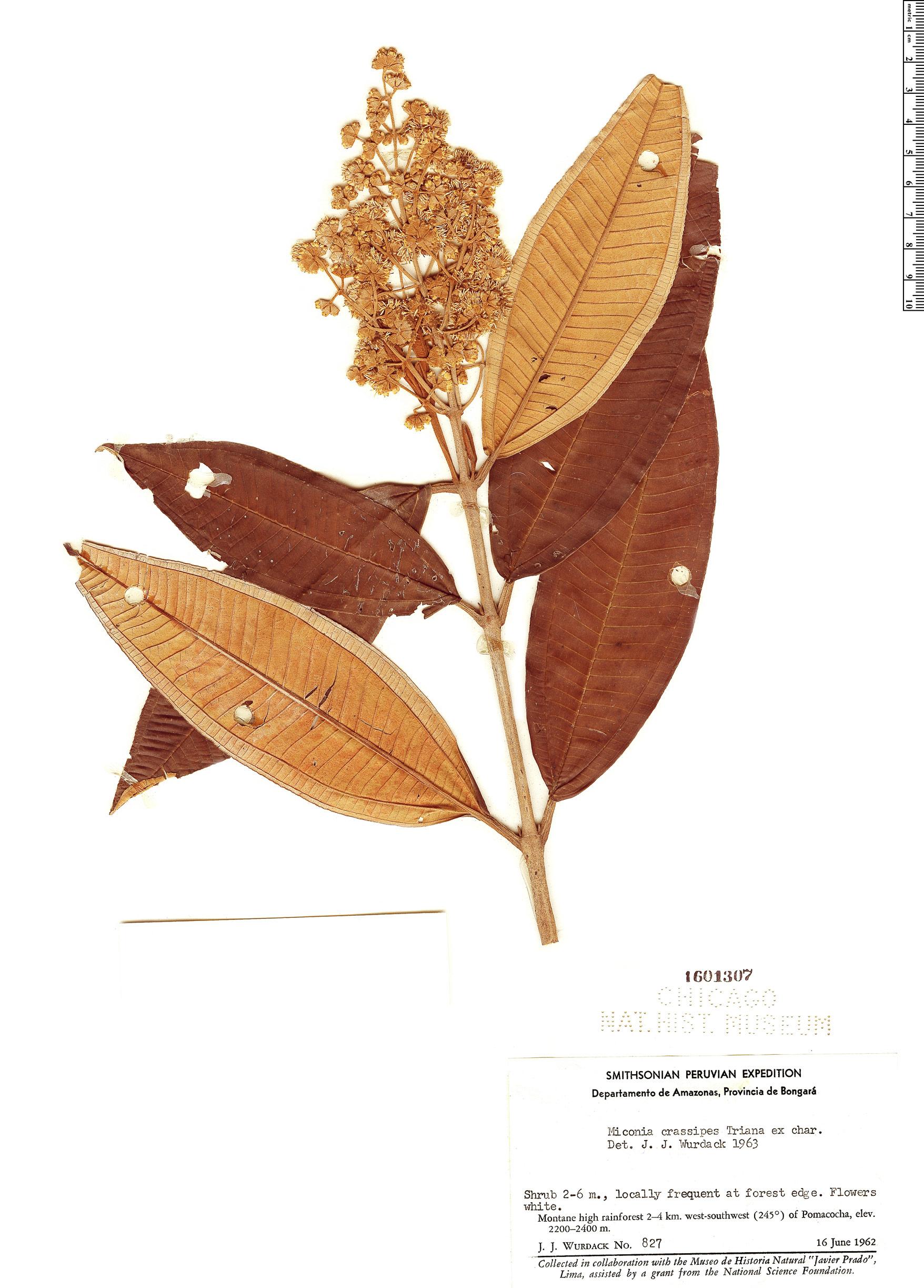 Specimen: Miconia crassipes