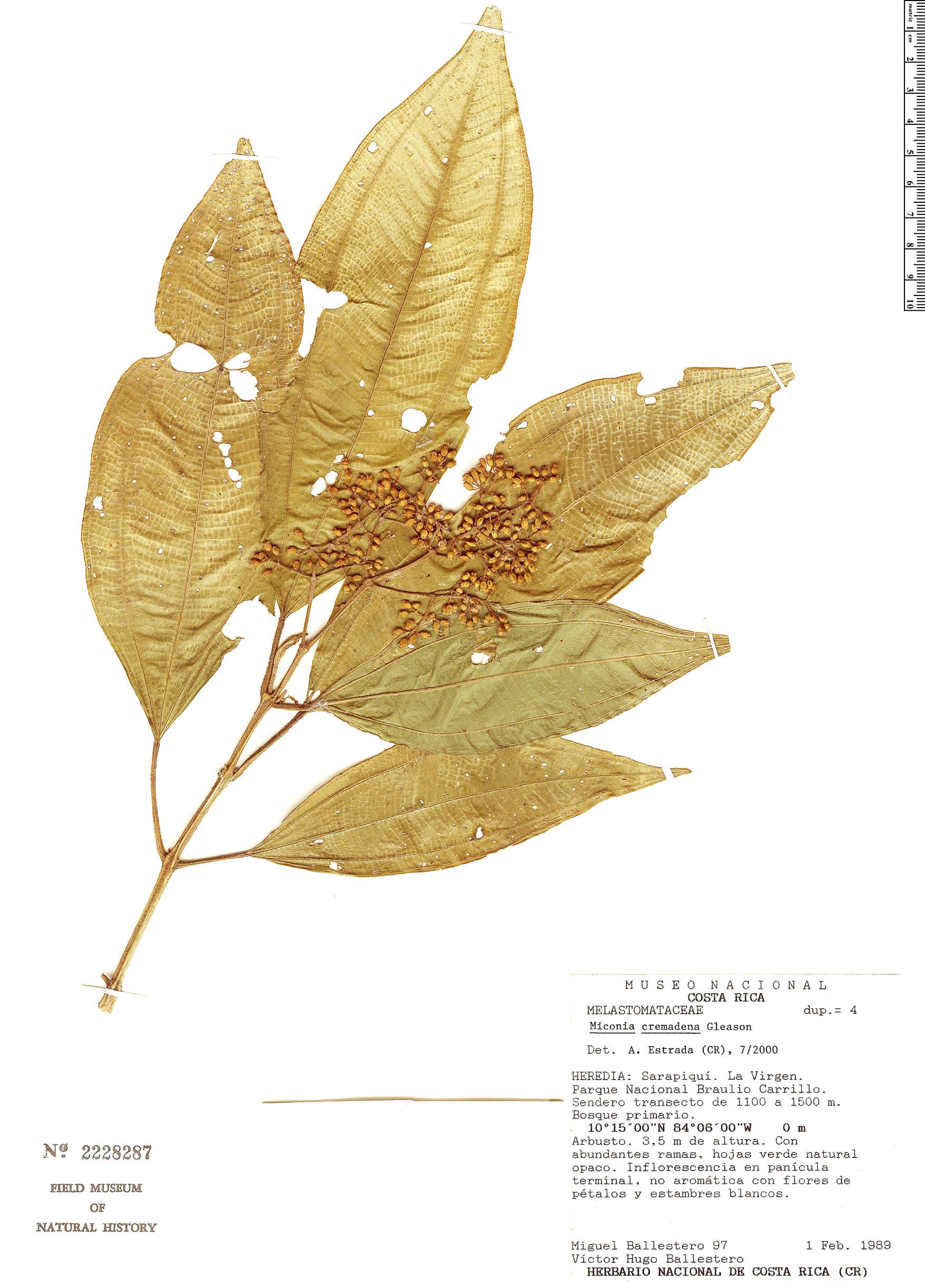Specimen: Miconia cremadena