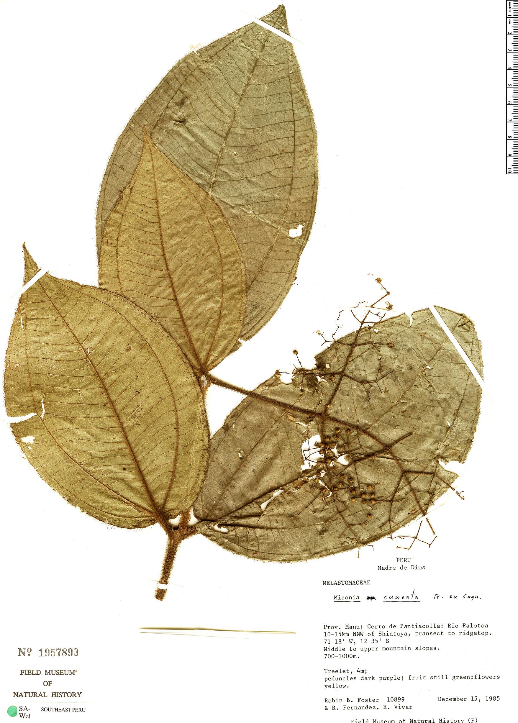 Specimen: Miconia histothrix