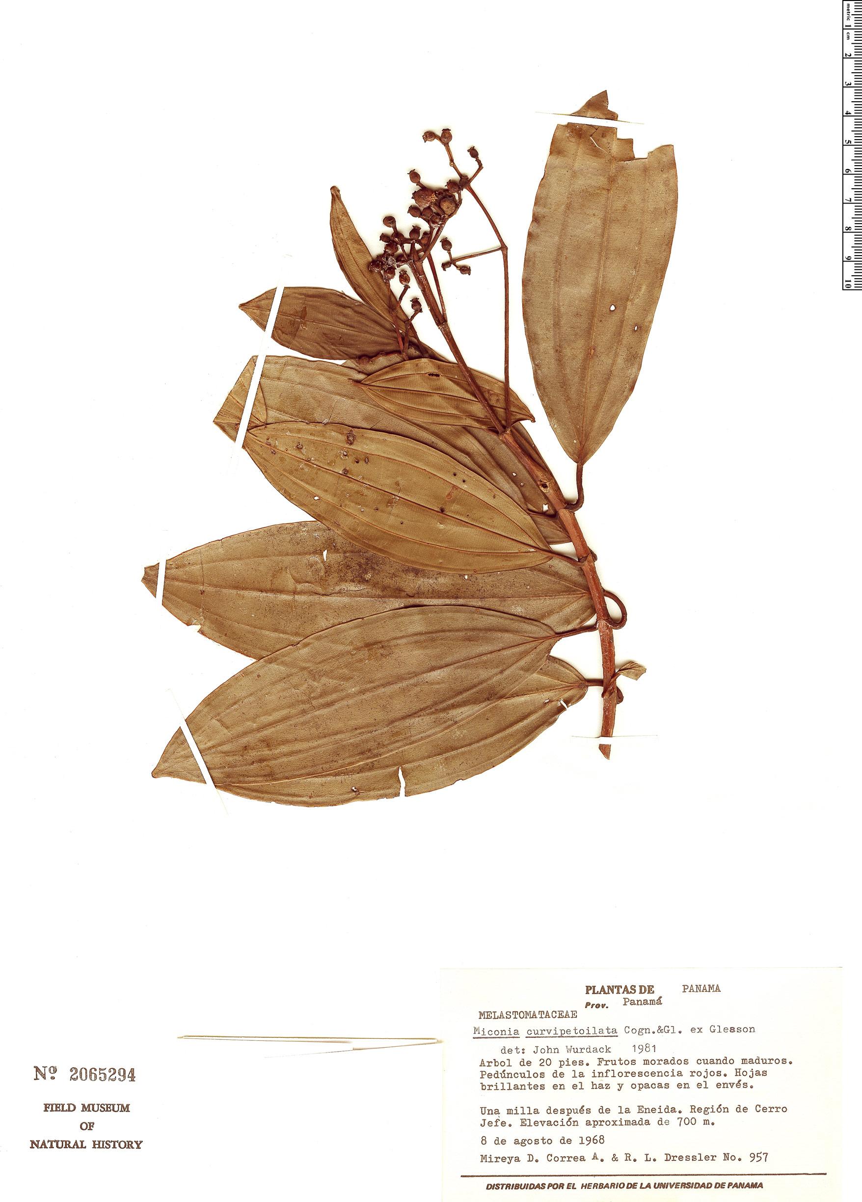 Specimen: Miconia reducens