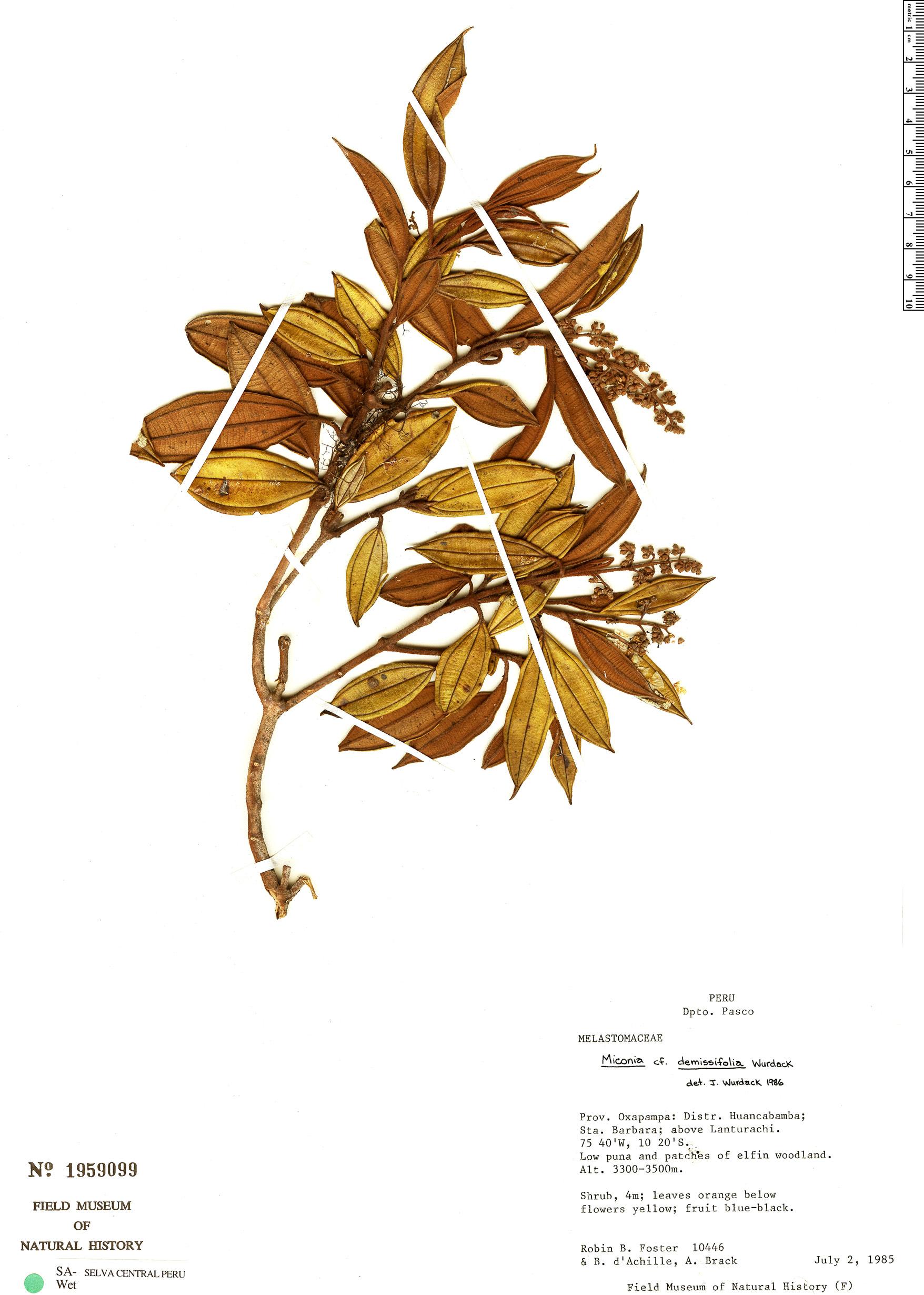 Specimen: Miconia demissifolia