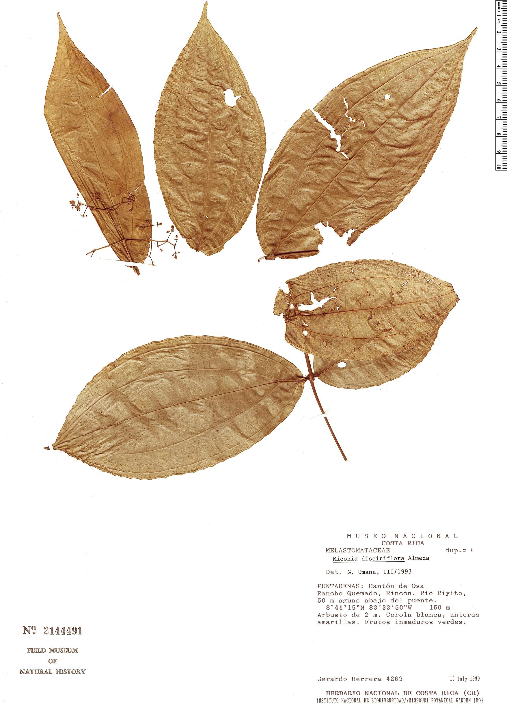 Specimen: Miconia dissitiflora