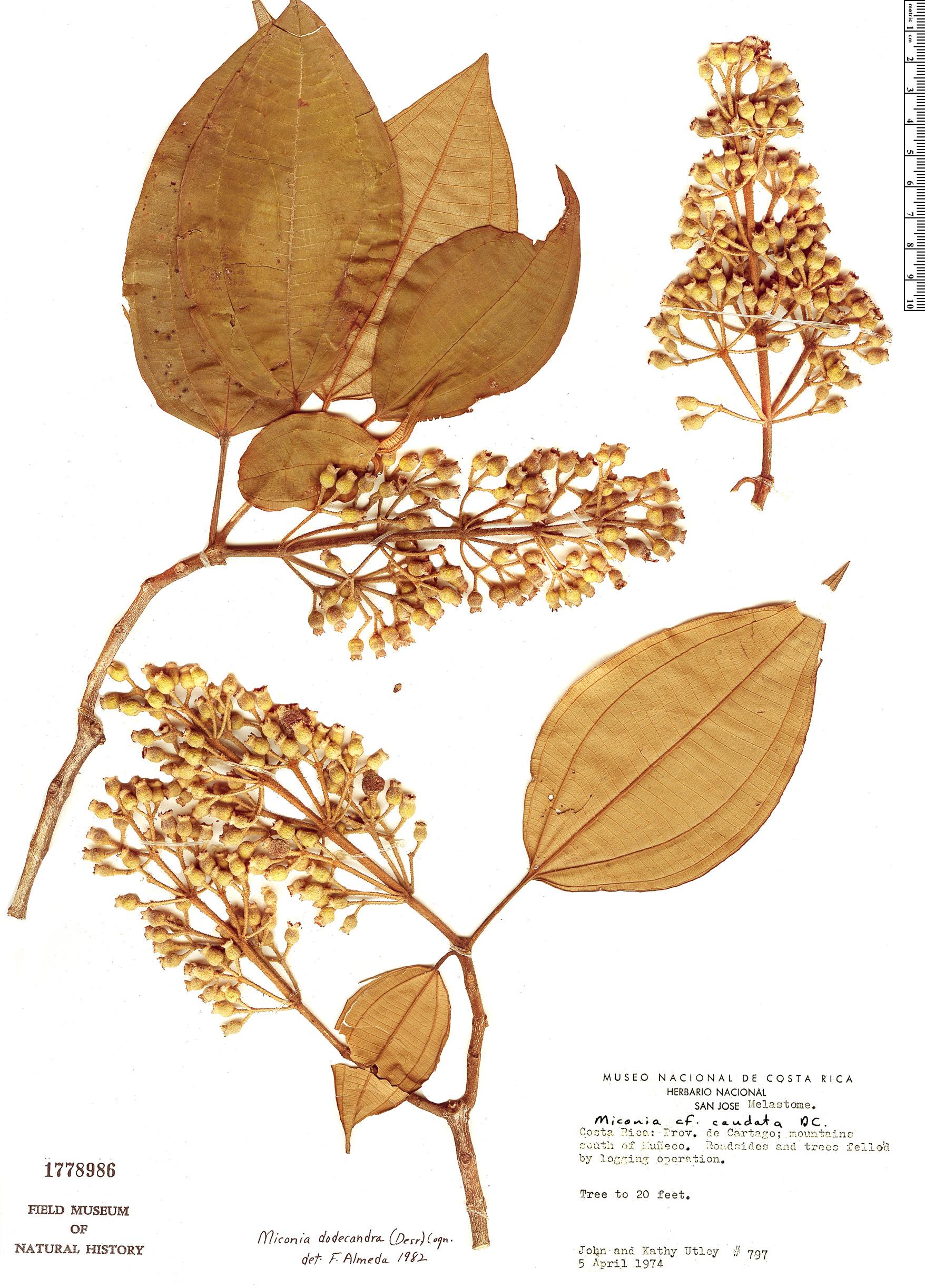 Specimen: Miconia dodecandra